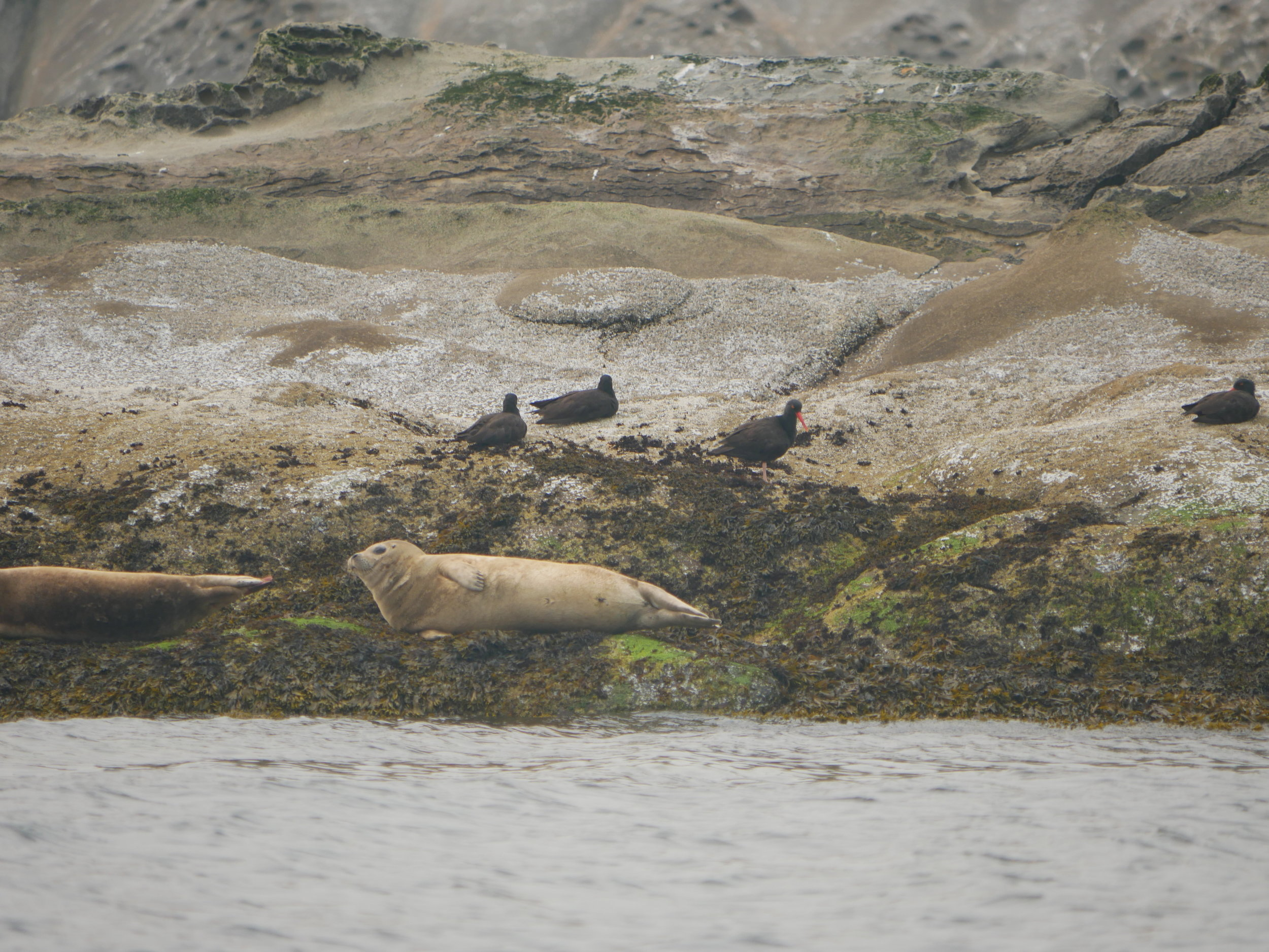 A harbour seal basking on the rocks with a few black oystercatchers popping by. Photo by Rodrigo Menezes