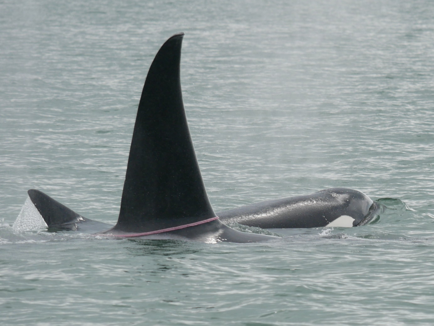 One male killer whale showing off his new intestine bling, while another swims close by. Photo by Mike Campbell.