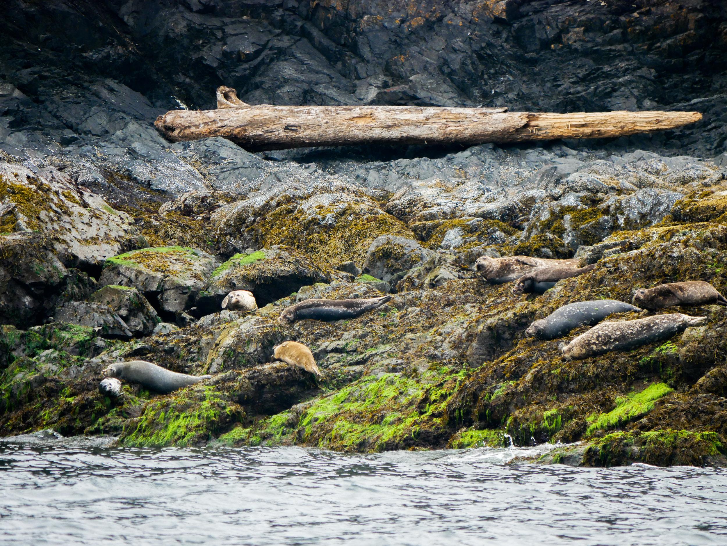 Harbour seals taking a break on the algae beds. Photo by Alanna Vivani - 10:30 tour.