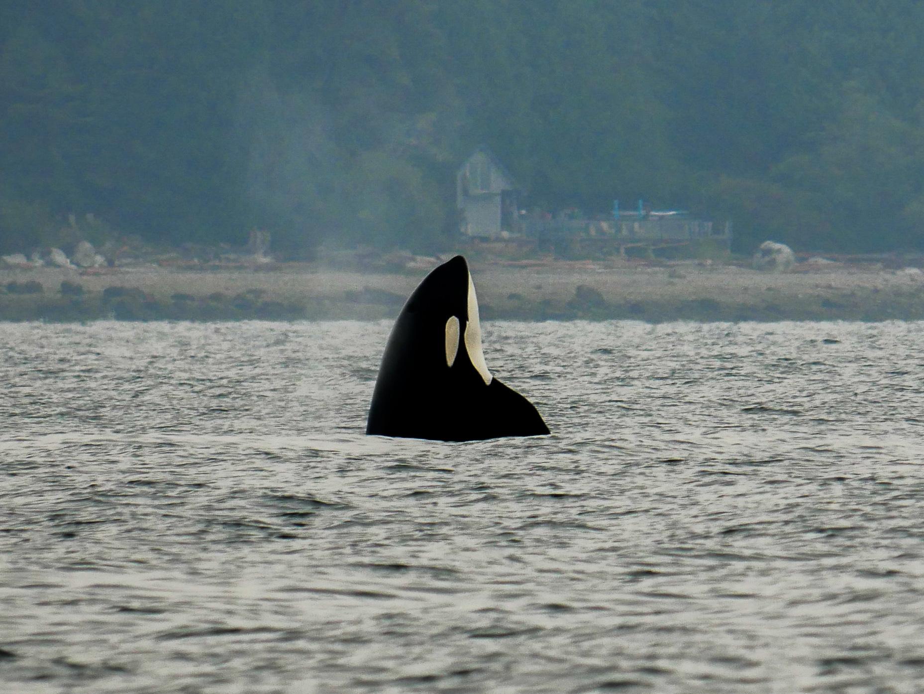 Orca spy hops off the shoreline. Photo by Alanna Vivani - 10:30 tour.