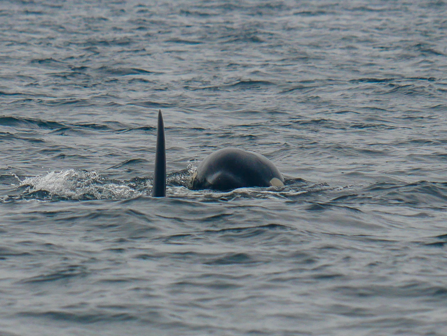 Peek-a-boo! Catching the beginning of a surface from the orca on the right. Photo by Rodrigo Menezes - 3:30 tour.
