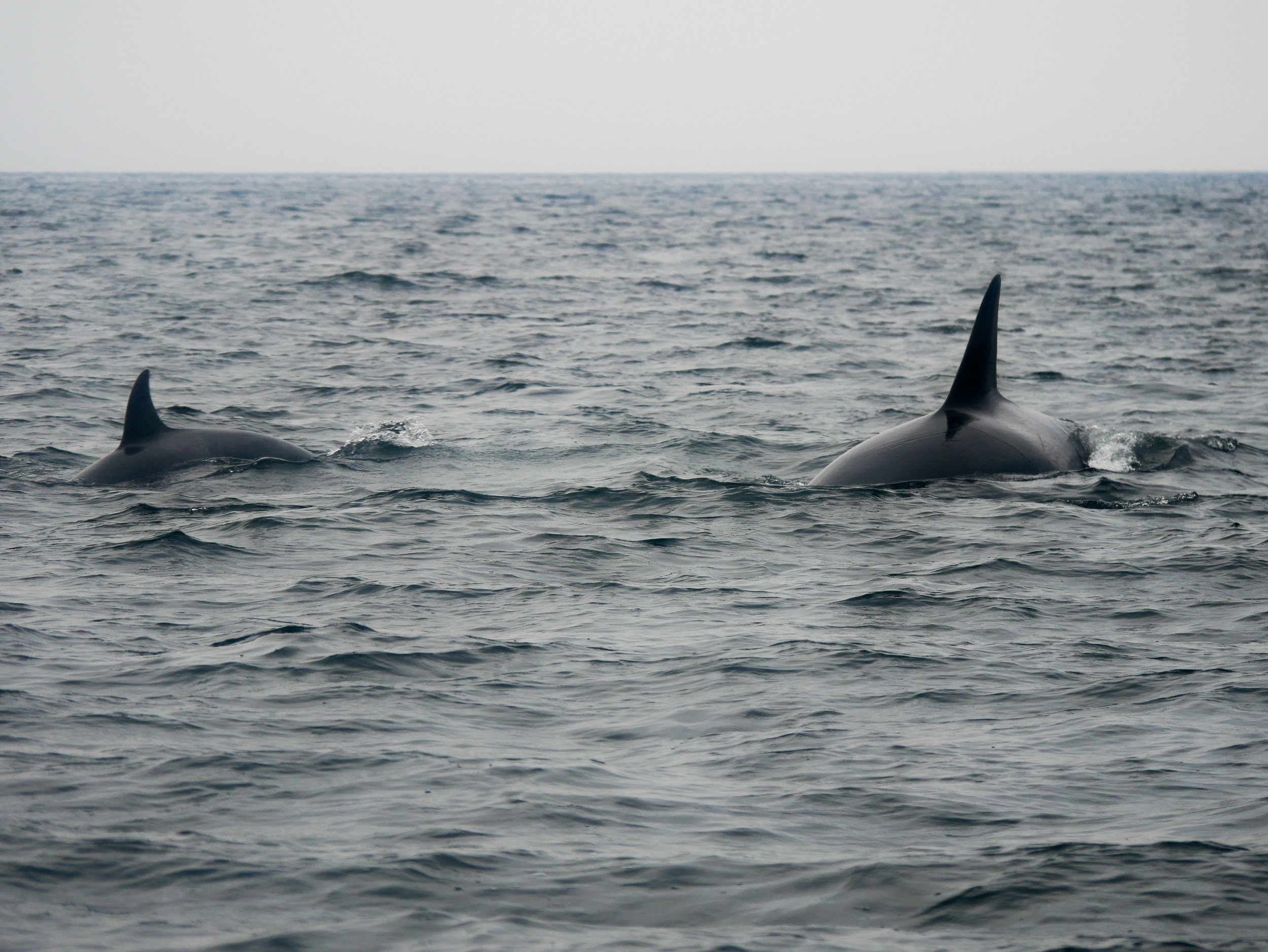 This angle really shows you size difference between a calf and a juvenile orca. Photo by Rodrigo Menezes - 3:30 tour.