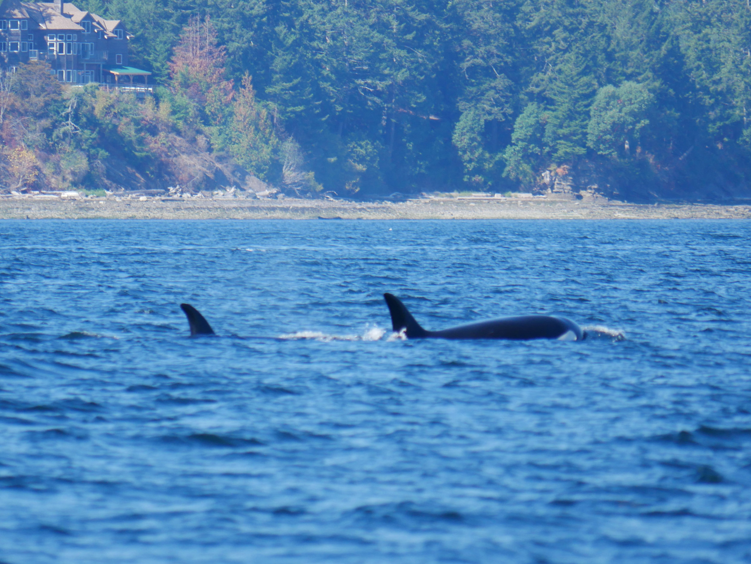 Heres a surface with the Saltspring shoreline in the background! Photo by Val Watson.