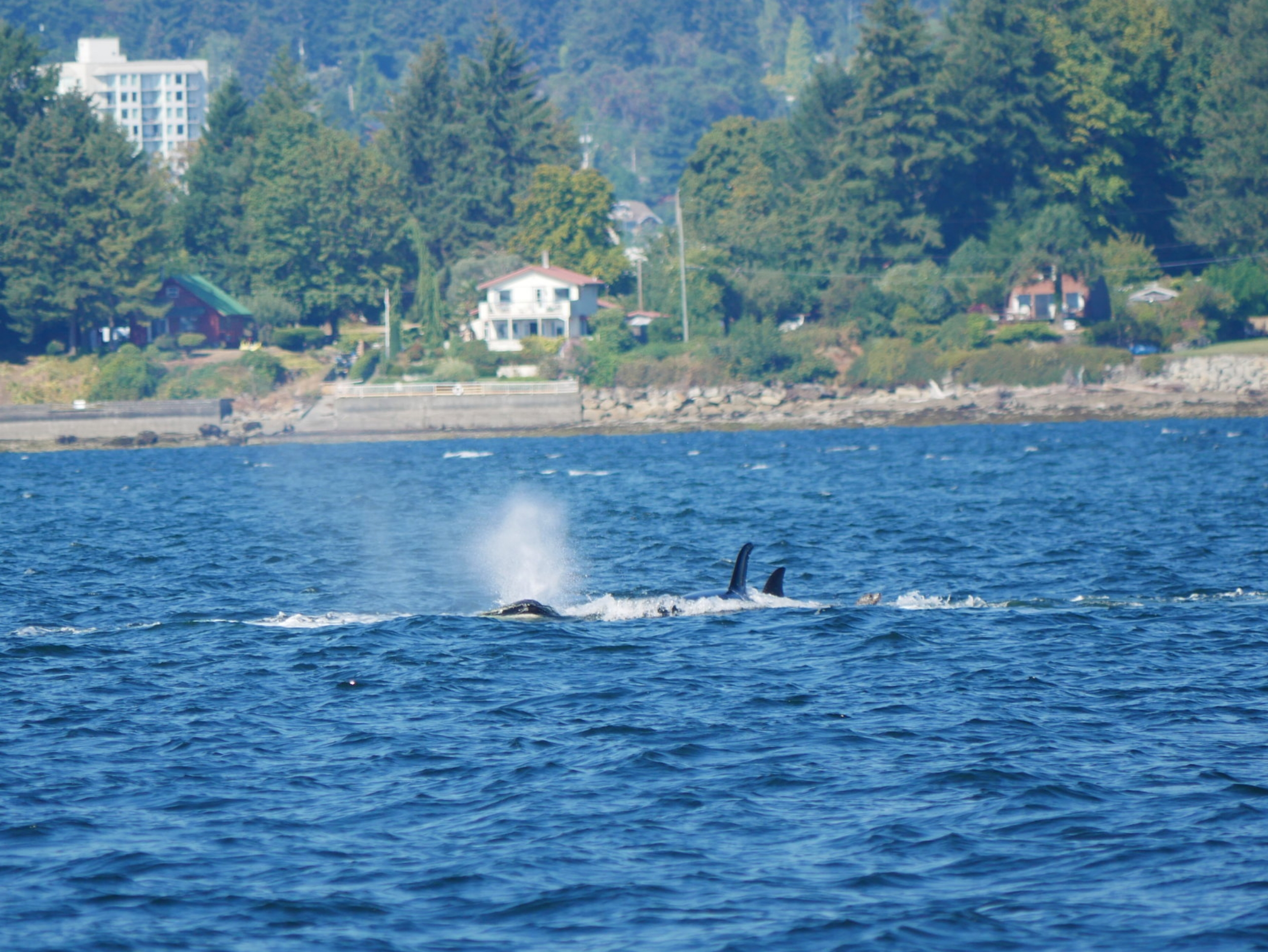 Look to the right of all of the dorsal fins... see the harbour seal?! Photo by Alanna Vivani