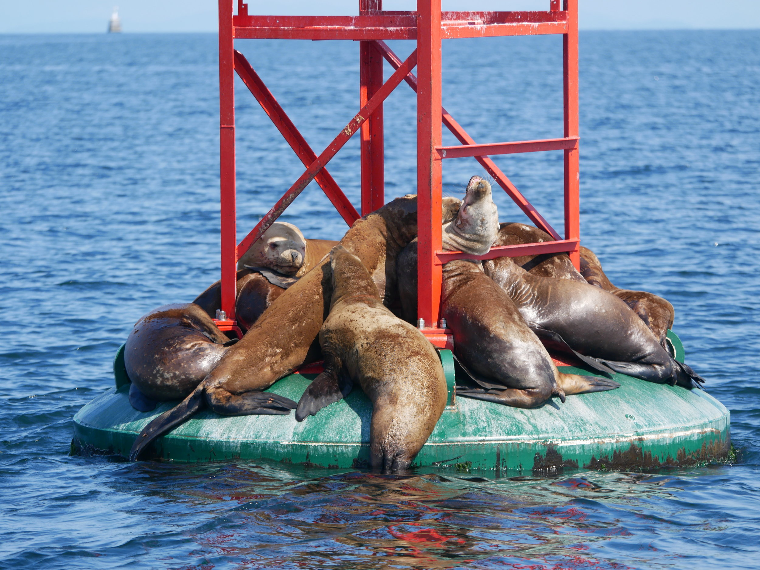 The sea lion in the centre doesn't look so comfortable! Photo by Alanna Vivani
