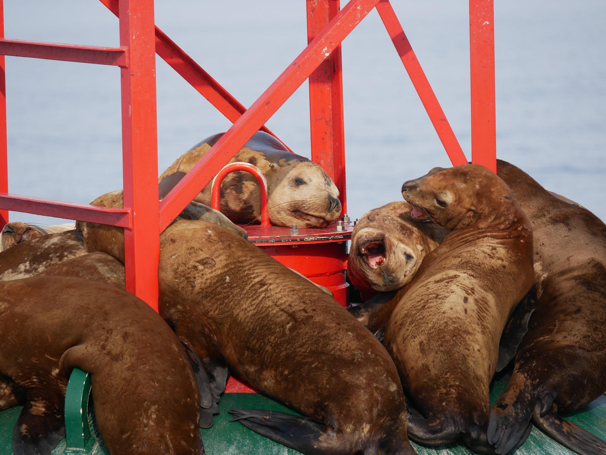 Some noisy steller sea lions on a birfurcation buoy! Photo by Alanna Vivani