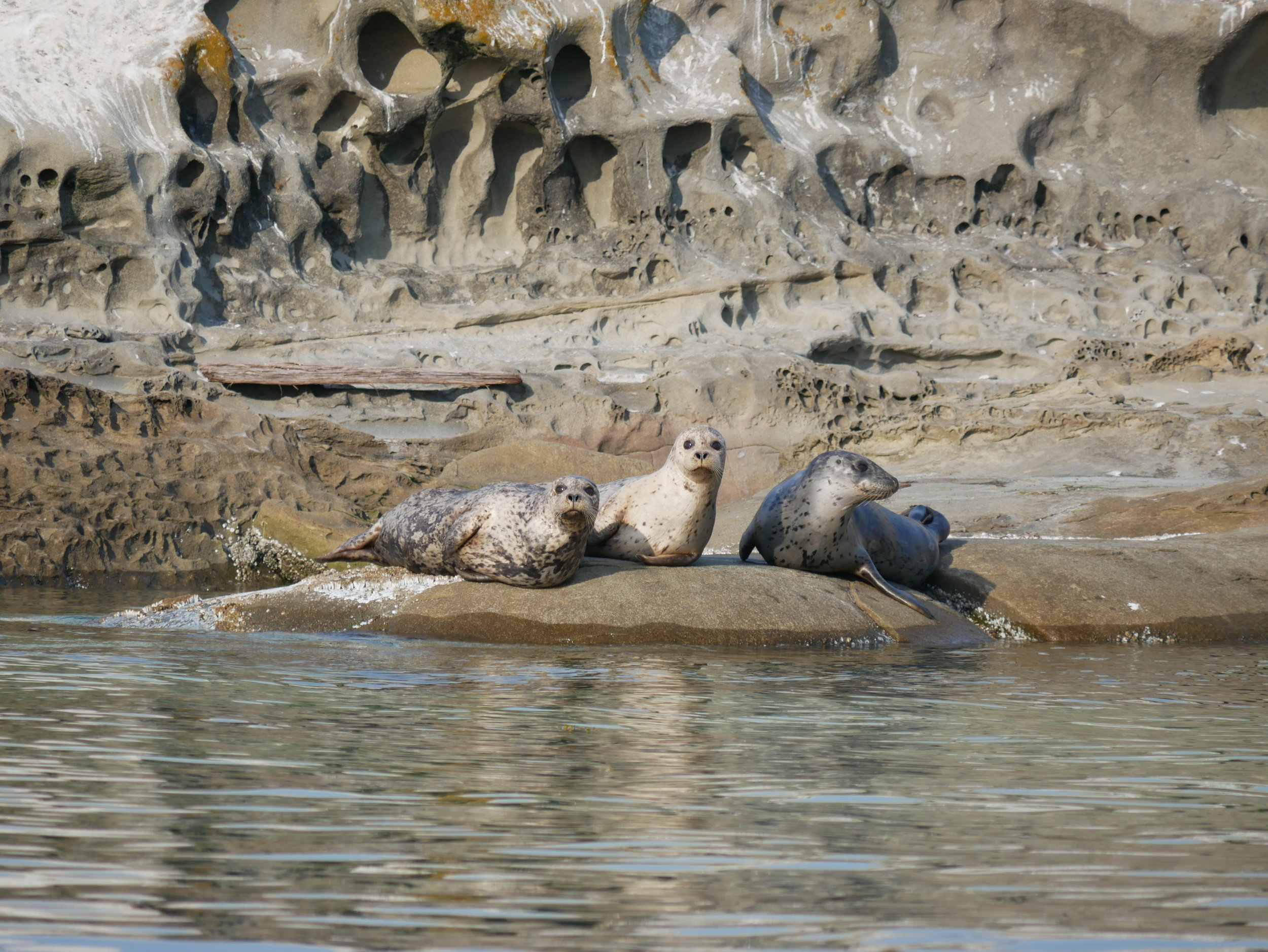 Cute and furry harbour seals. Photo by Alanna Vivani