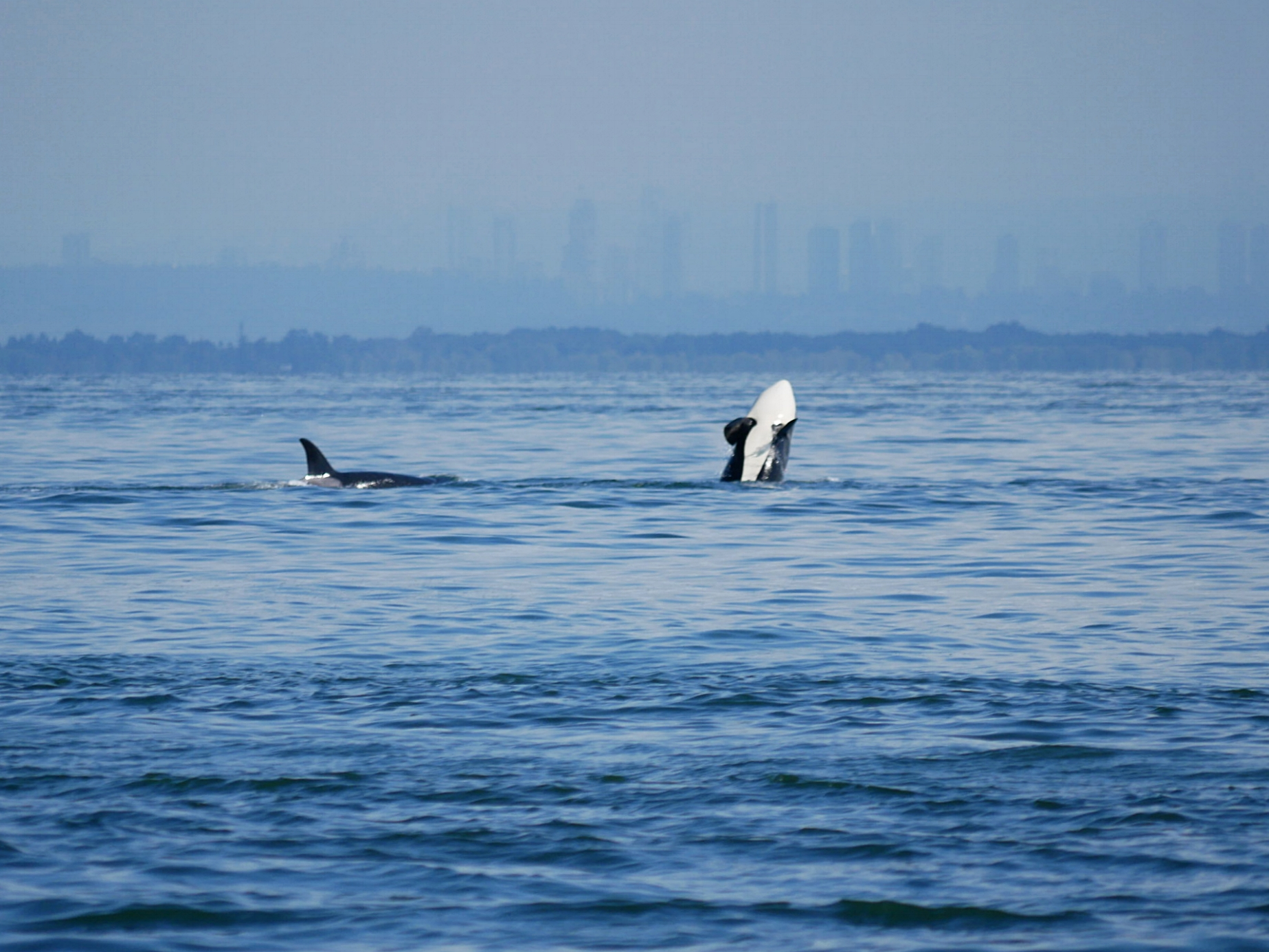A juvenile orca does a half breach in front the Greater Vancouver skyline. Photo by Rodrigo Menezes