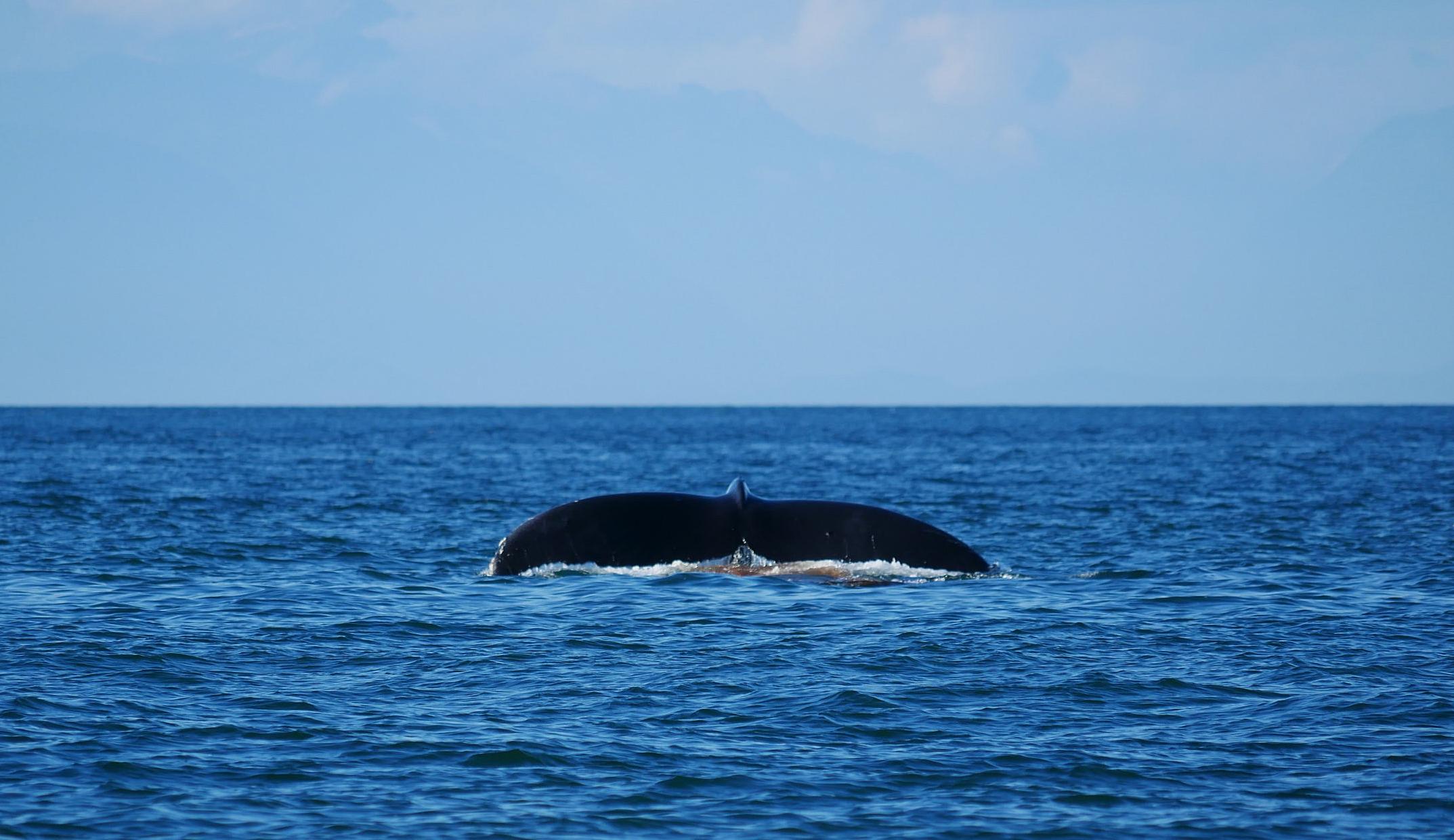 Humpback whale poo from Raptor! Photo by Rodrigo Menezes