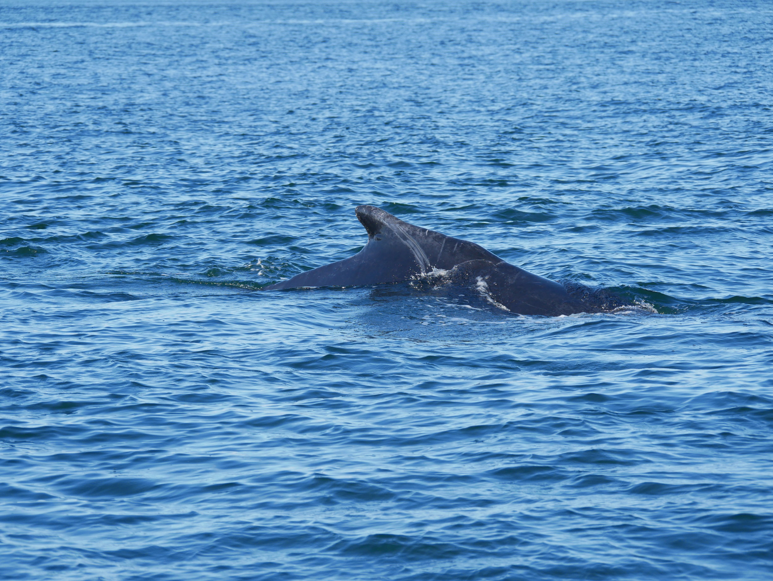 Noticeable scratches also help us to identify individual whales. Photo by Rodrigo Menezes