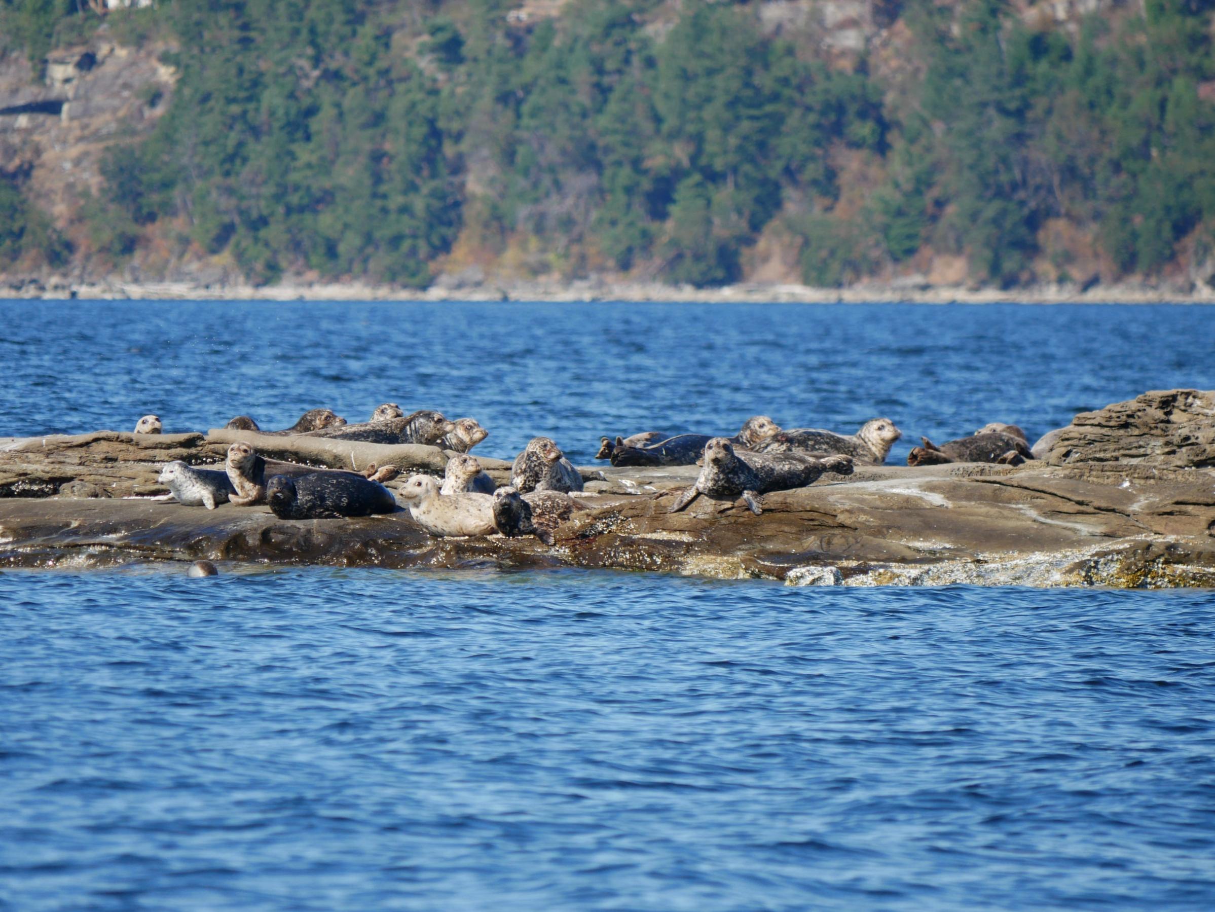 Harbour seals on alert. Photo by Alanna Vivani