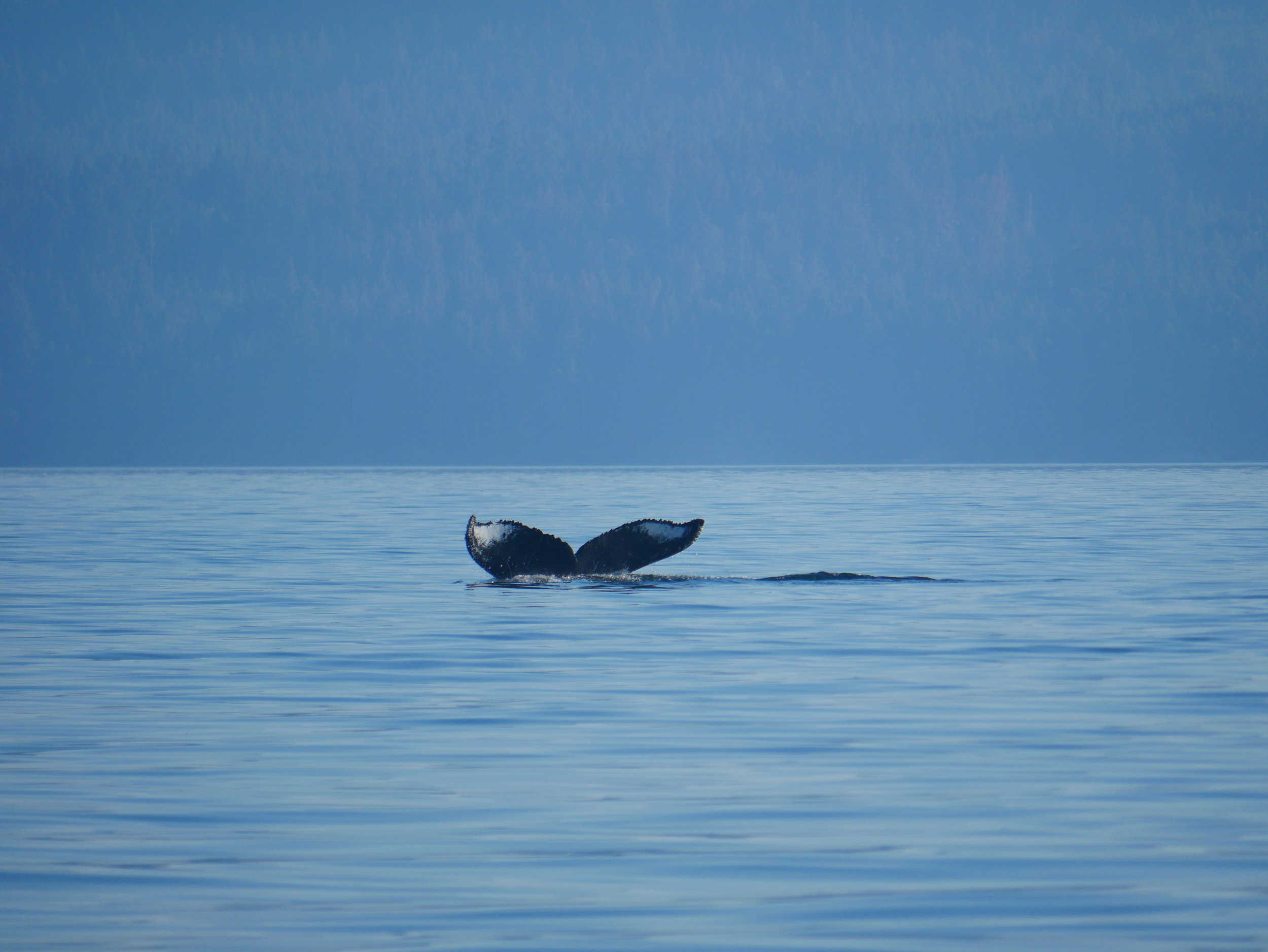 "Humpback whale BCX1251 ""Orion"" going down for a dive. Photo by Rodrigo Menezes"