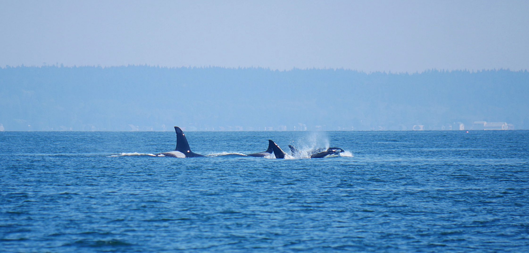 Two pods of orcas traveling together.Photo by Rodrigo Menezes