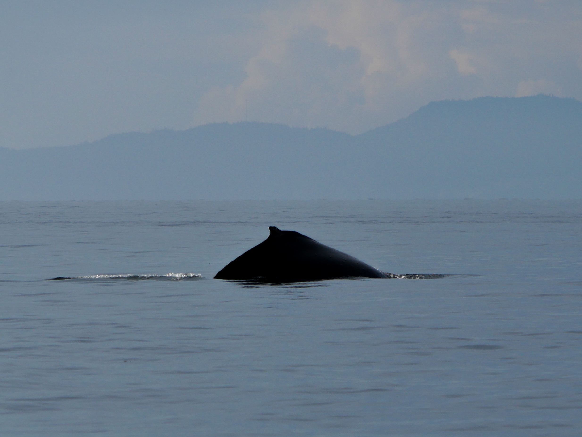 When going for a deep dive, the humpback arches its back even more! Photo by Rodrigo Menezes - 3:30 tour.