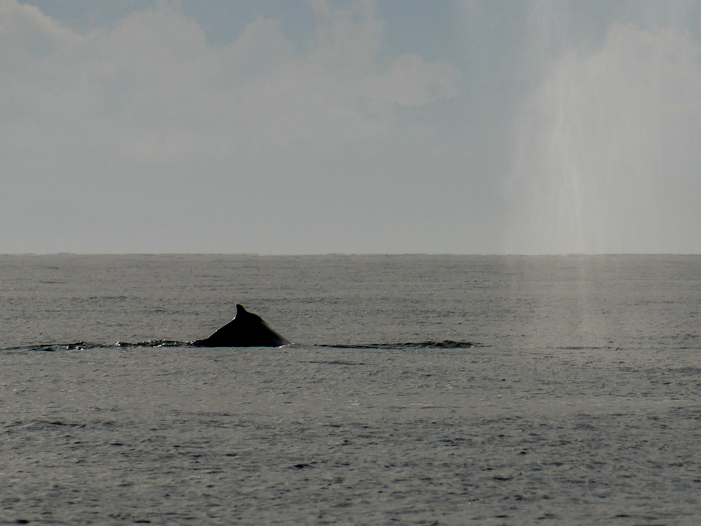 Humpback on the right just beginning a surfacing, evident by the big blow in the air, while the humpback on the left is just finishing a surfacing! Photo by Rodrigo Menezes - 3:30 tour.