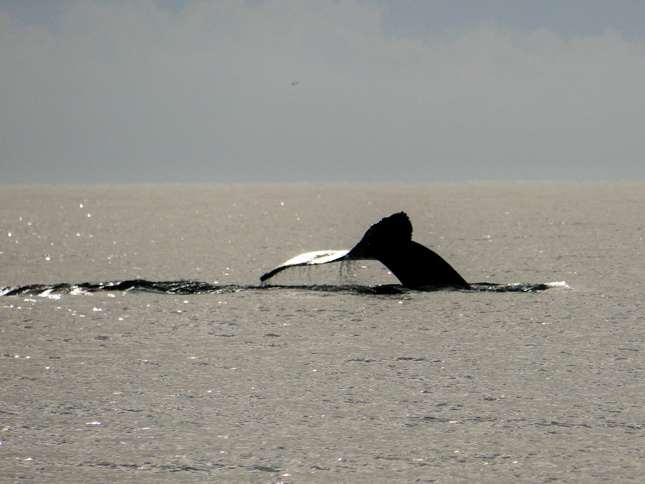 Neat angle during a humpback fluking. Photo by Rodrigo Menezes - 3:30 tour.