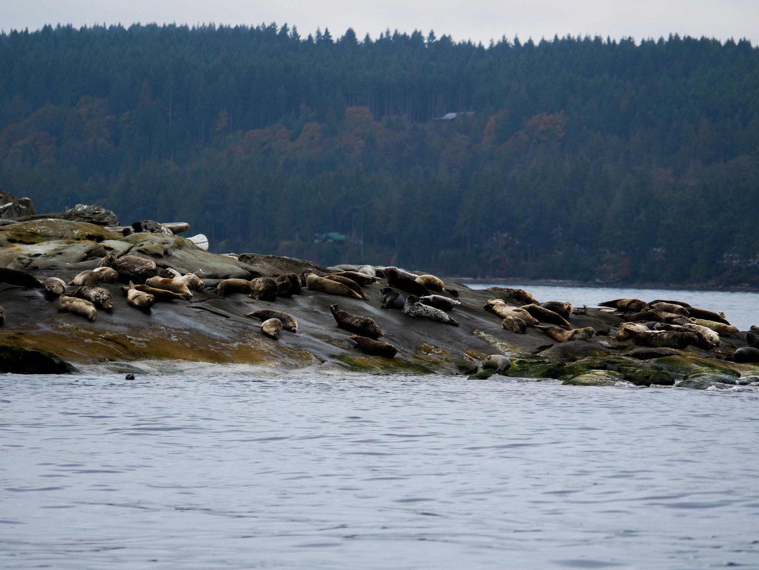 Habour seal haul-out! Photo by Alanna Vivani - 10:30 tour.