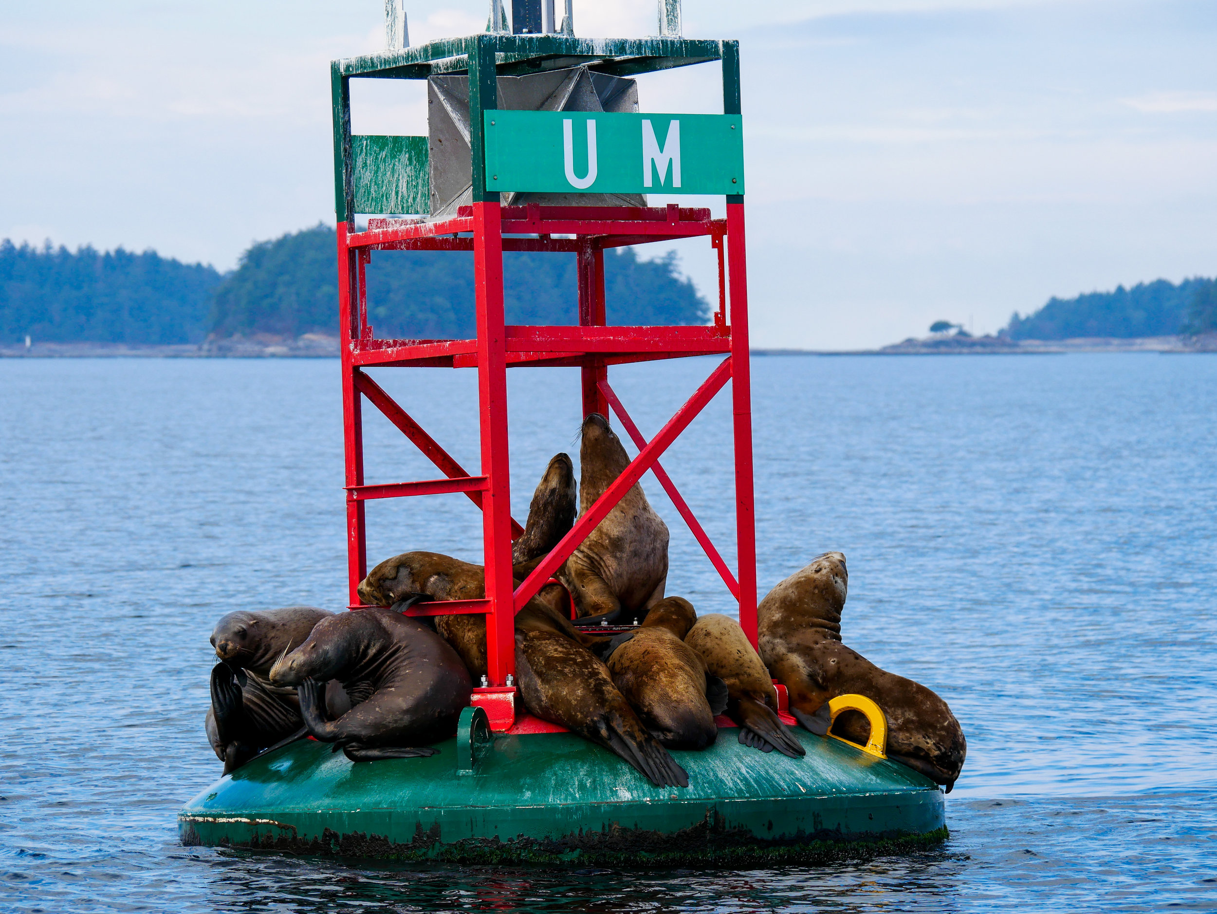 Steller sea lions hanging around at Gabriola Reef. Photo by Alanna Vivani - 10:30 tour.