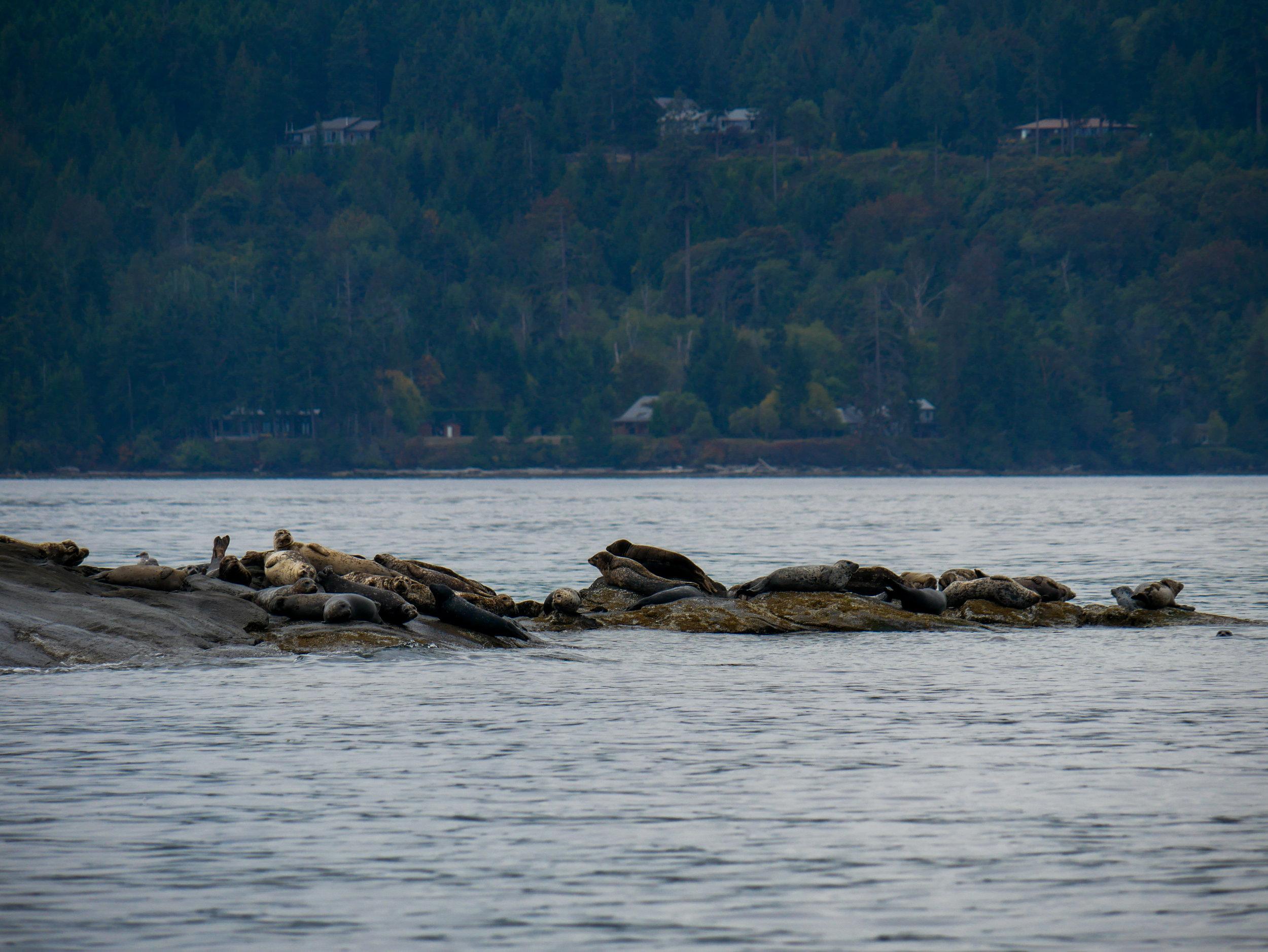 Harbour seal haul out on Entrance Island. Photo by Alanna Vivani - 10:30 tour.