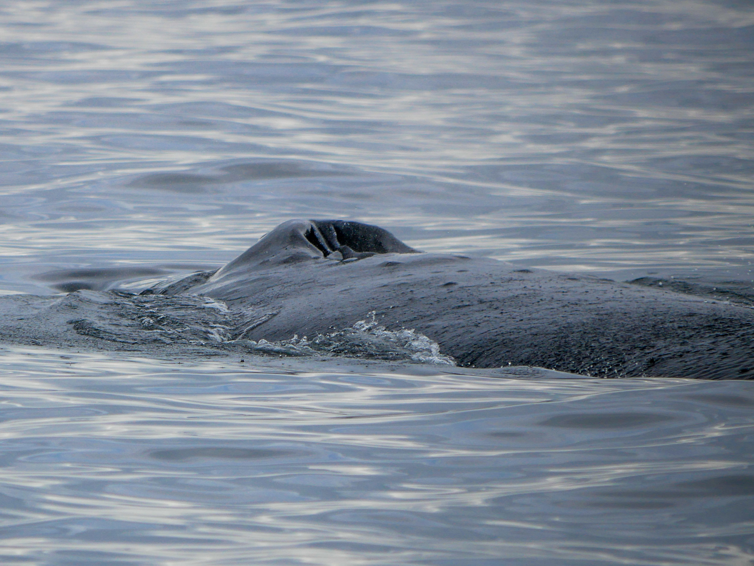 During a close pass we all got an incredible view of the humpback blowholes. Photo by Alanna Vivani - 10:30 tour.
