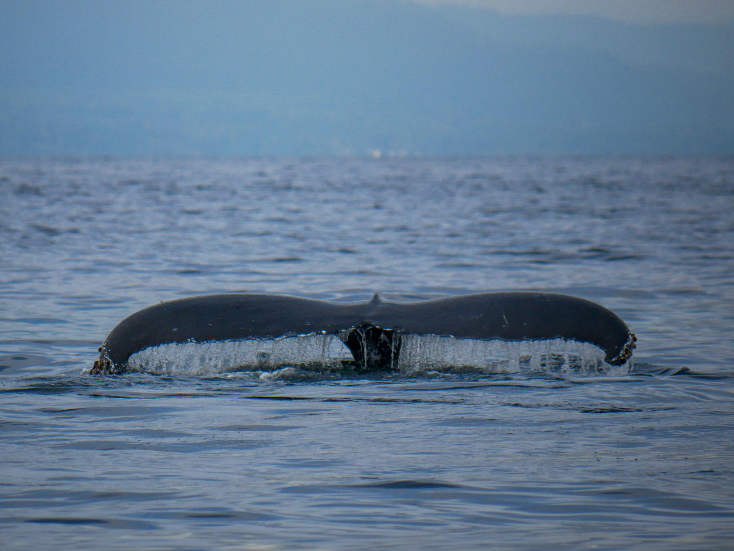 Trailing edge of a humpback fluke. Photo by Alanna Vivani - 10:30 tour.