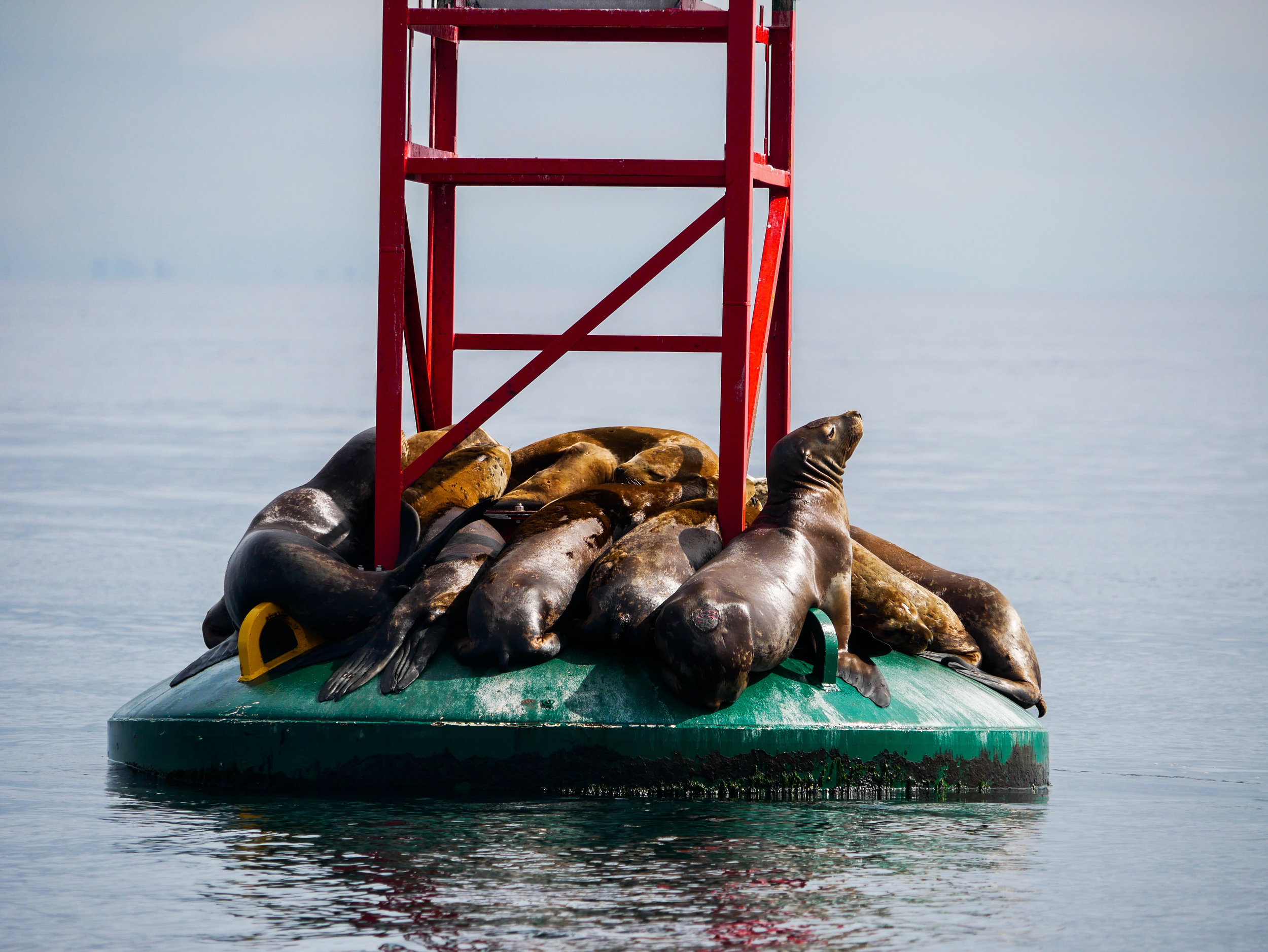 Stellers resting on the Gabriola Reef buoy. Photo by Alanna Vivani - 10:30 tour.