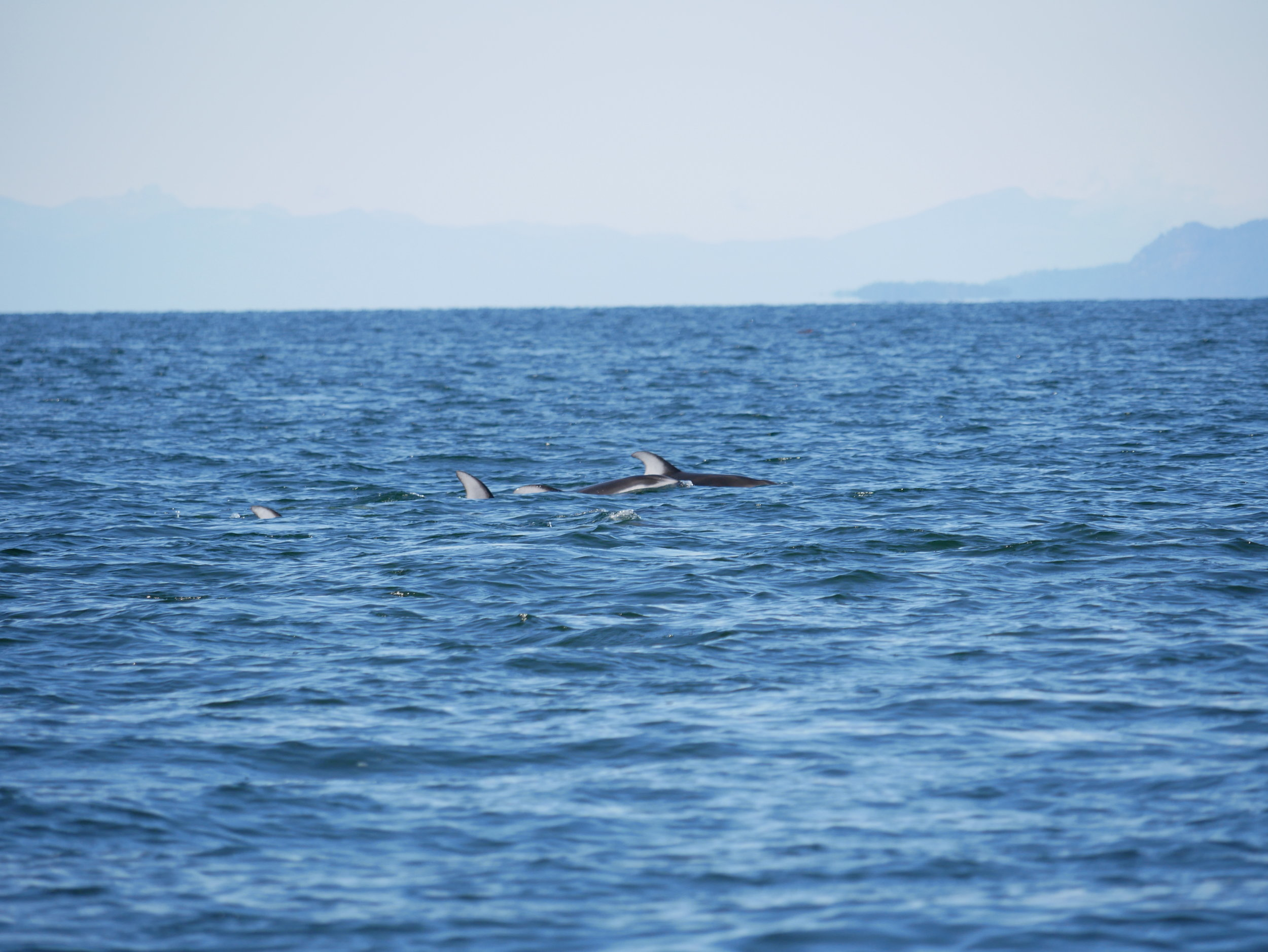 Pacific Whitesided dolphins are an uncommon sighting, what a treat! Photo by Val Watson