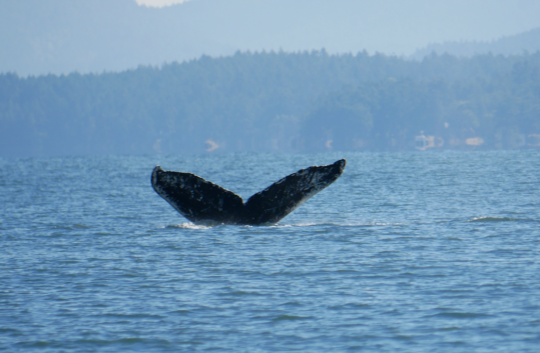Franken-fluke! Can you see why this whale is named Frankenstein? Photo by Val Watson