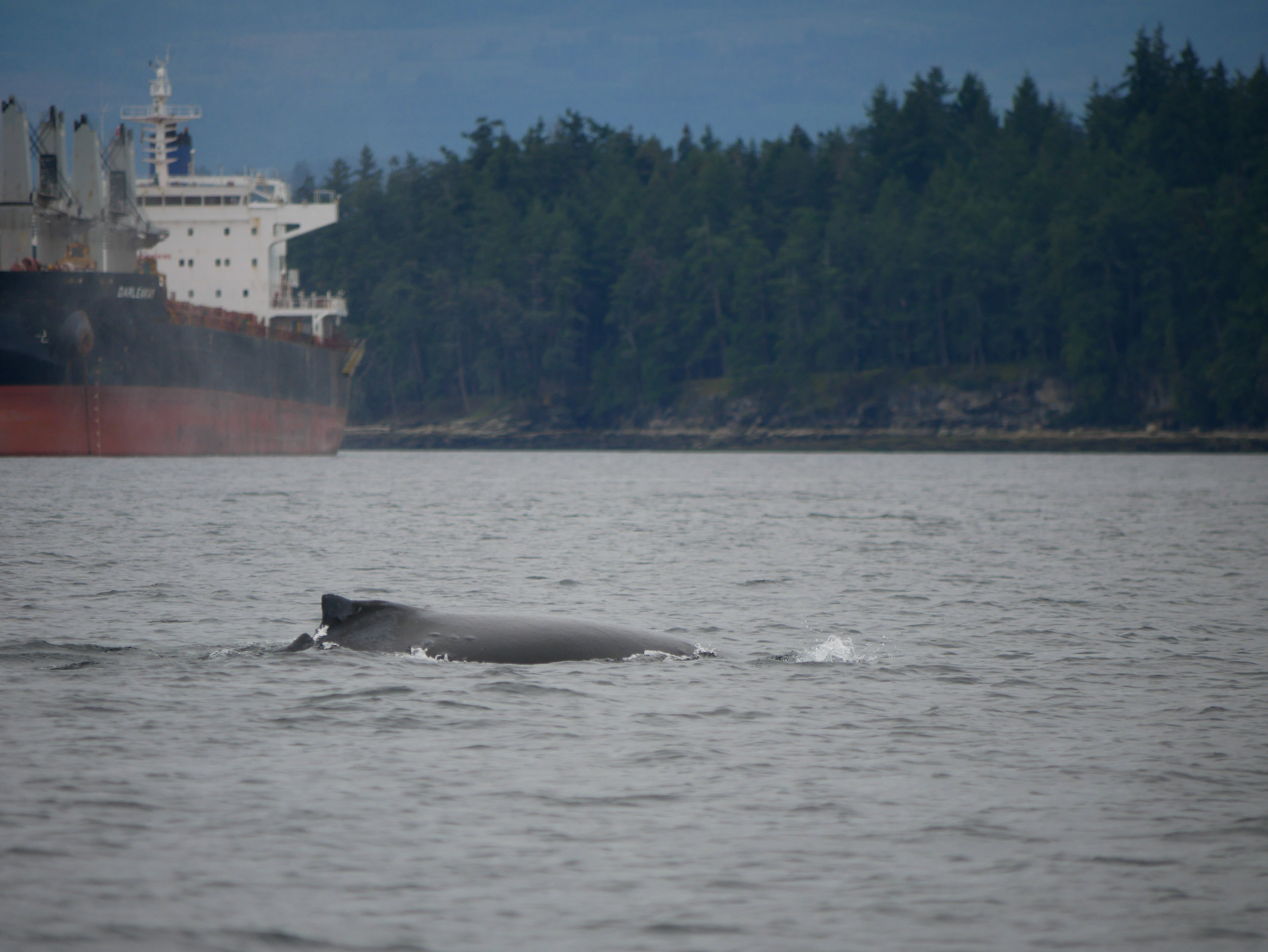 Just behind Newcastle Island we watched this survivor! Photo by Val Watson