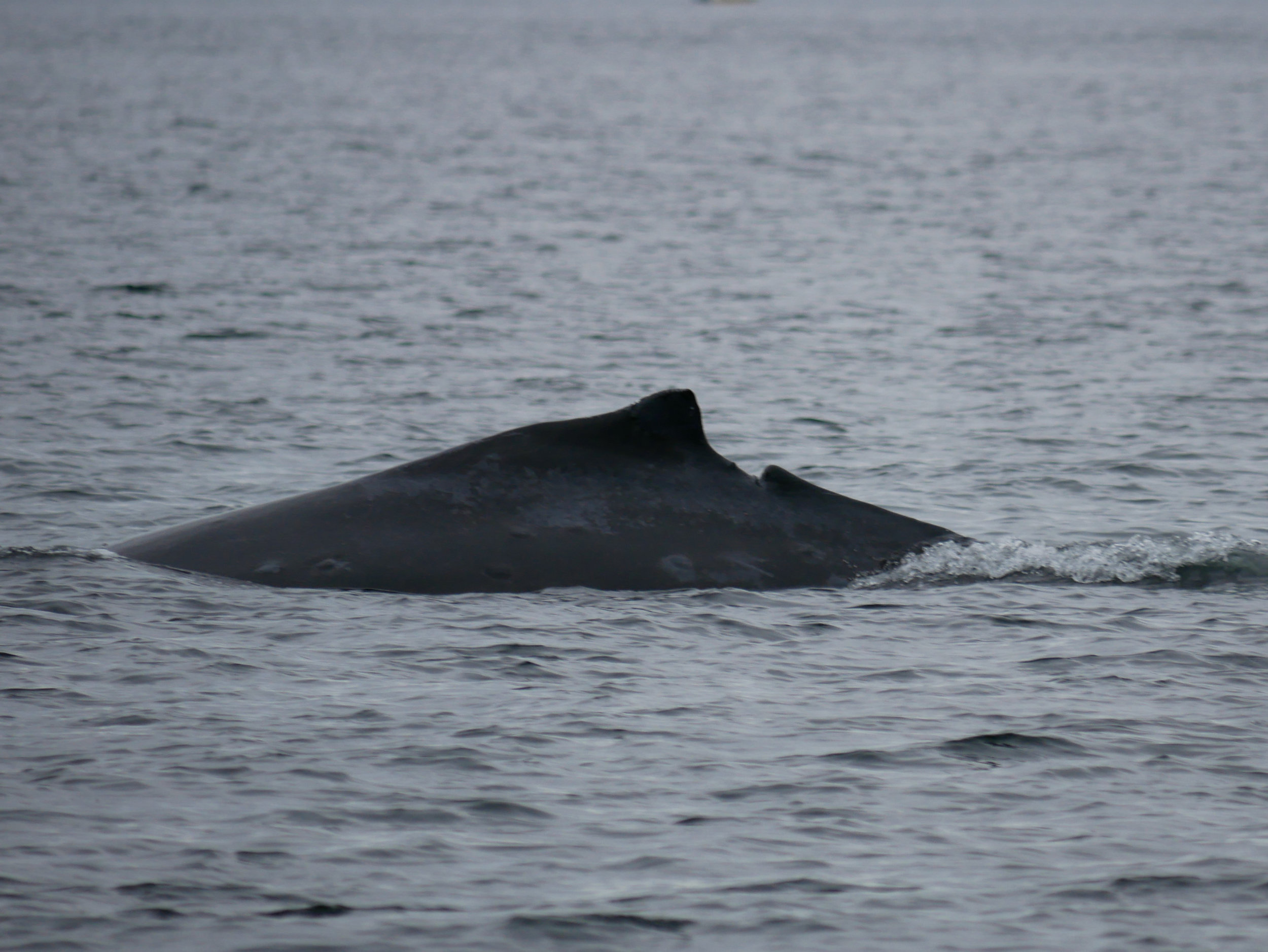 This whale will be easy to identify in the future because of its unfortunate accident. Photo by Val Watson
