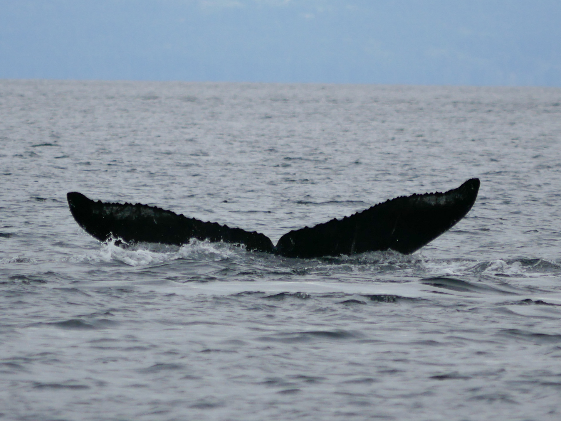 "Fluke shot of KEX0026 ""Slice"" the humpback! Photo by Val Watson"