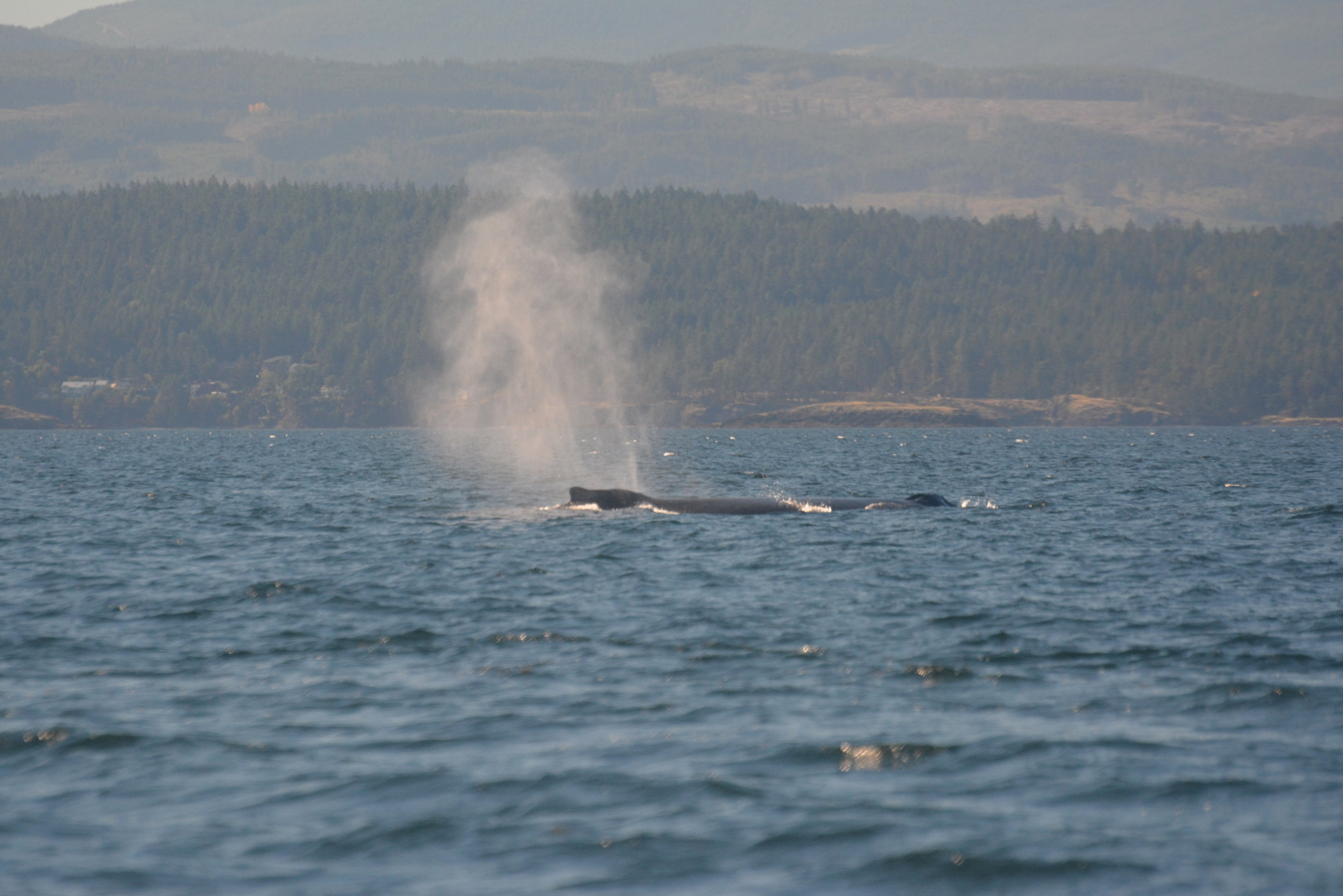 A humpback whale's blow can shoot 10-15 feet up into the air! Photo by Alanna Vivani