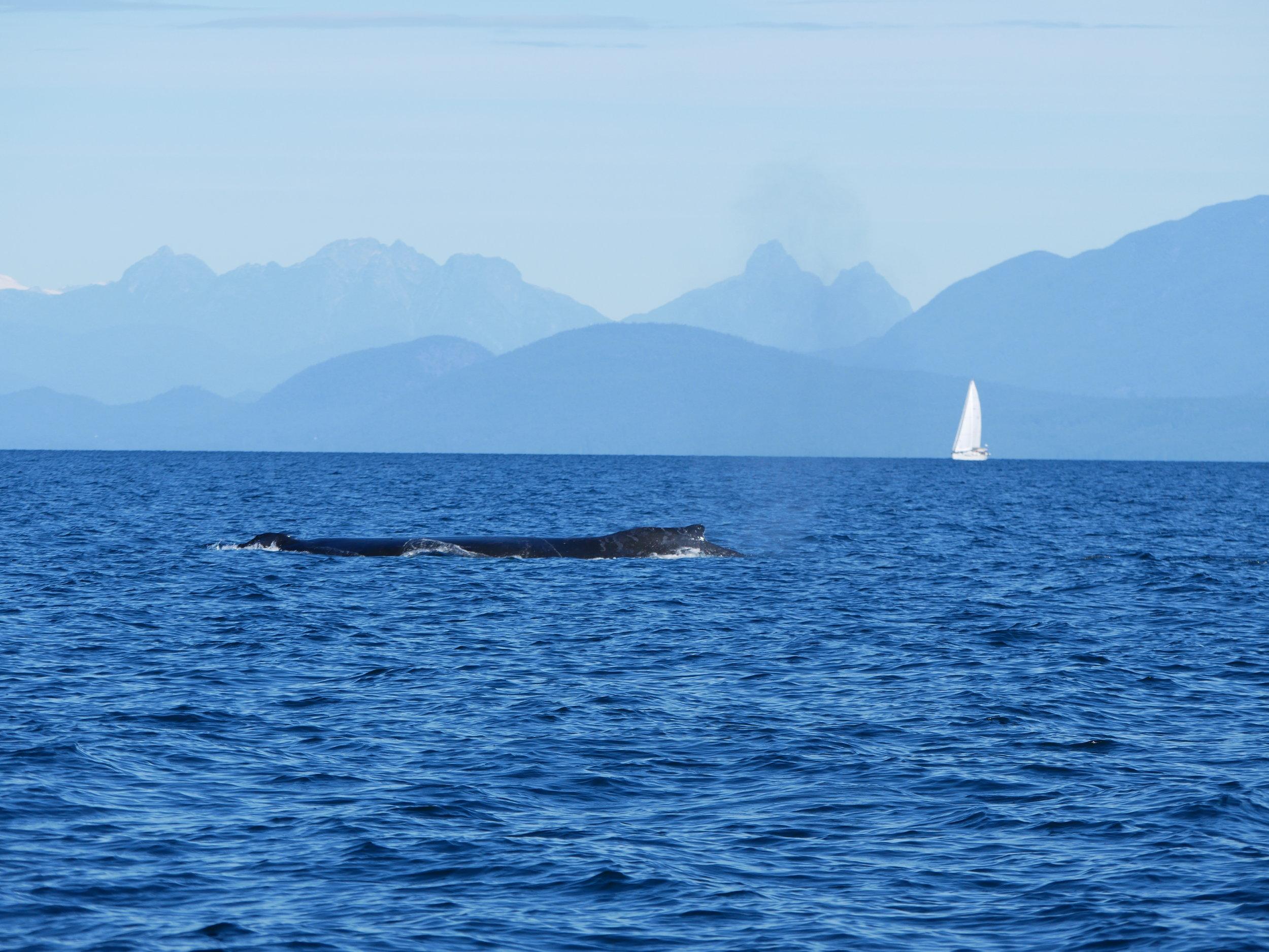 North shore mountains and a large humpback whale! Photo by Rodrigo Menezes