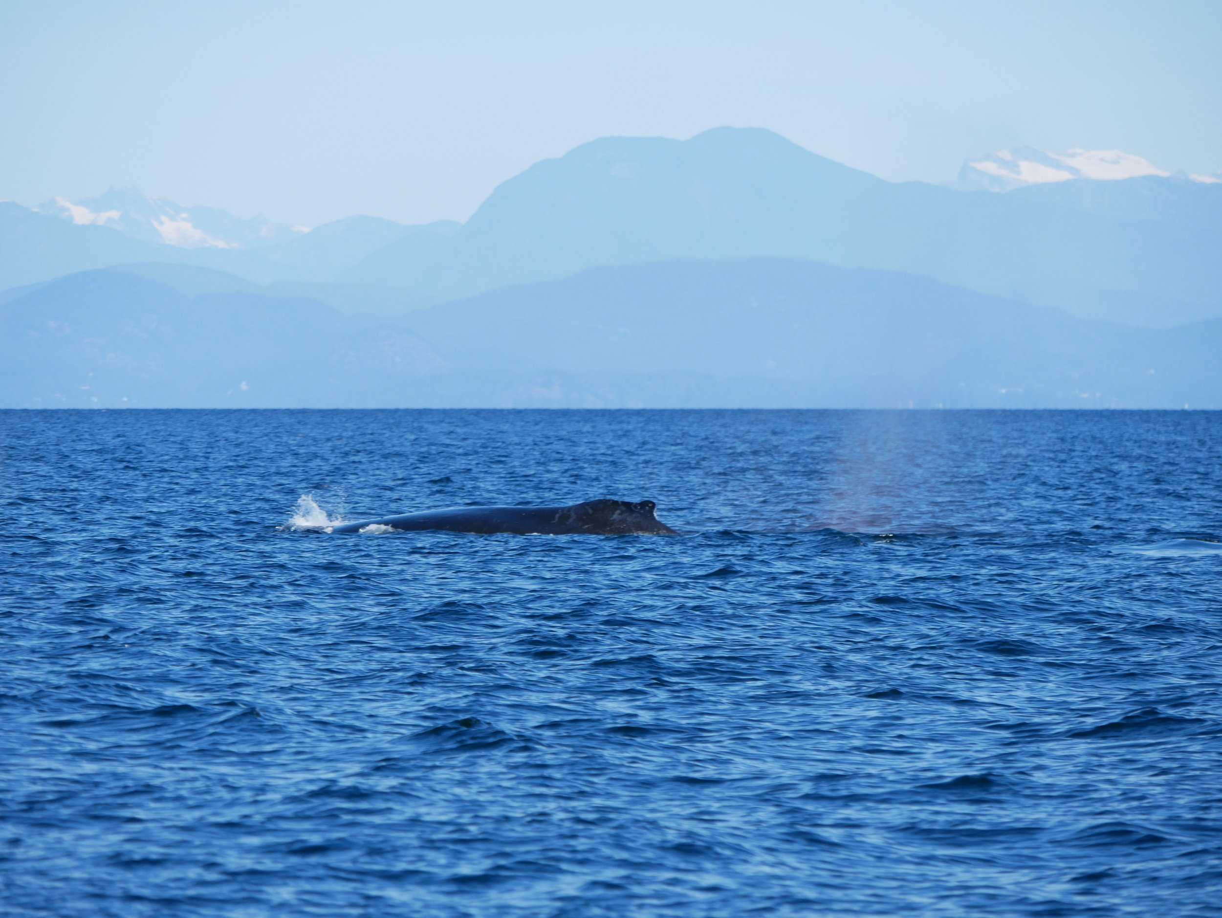 Snow capped mountains and humpback whales, what a great afternoon! Photo by Rodrigo Menezes