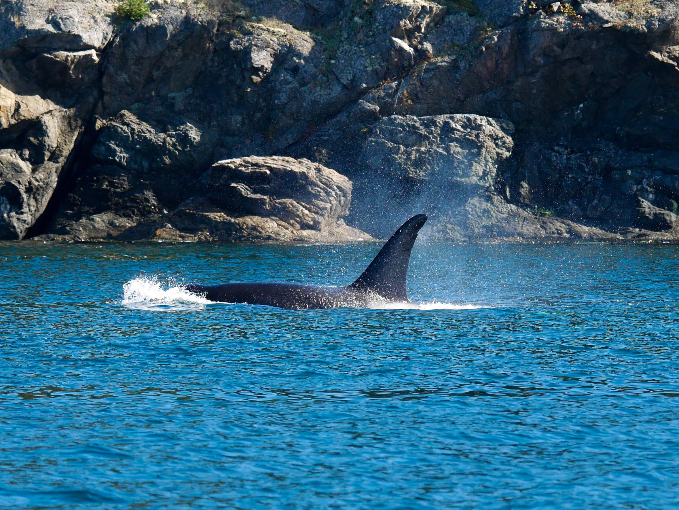 T49A1 (17 years old) surfaces, check out the nick on the top of the dorsal fin for help in identification. Photo by Rodrigo Menezes.