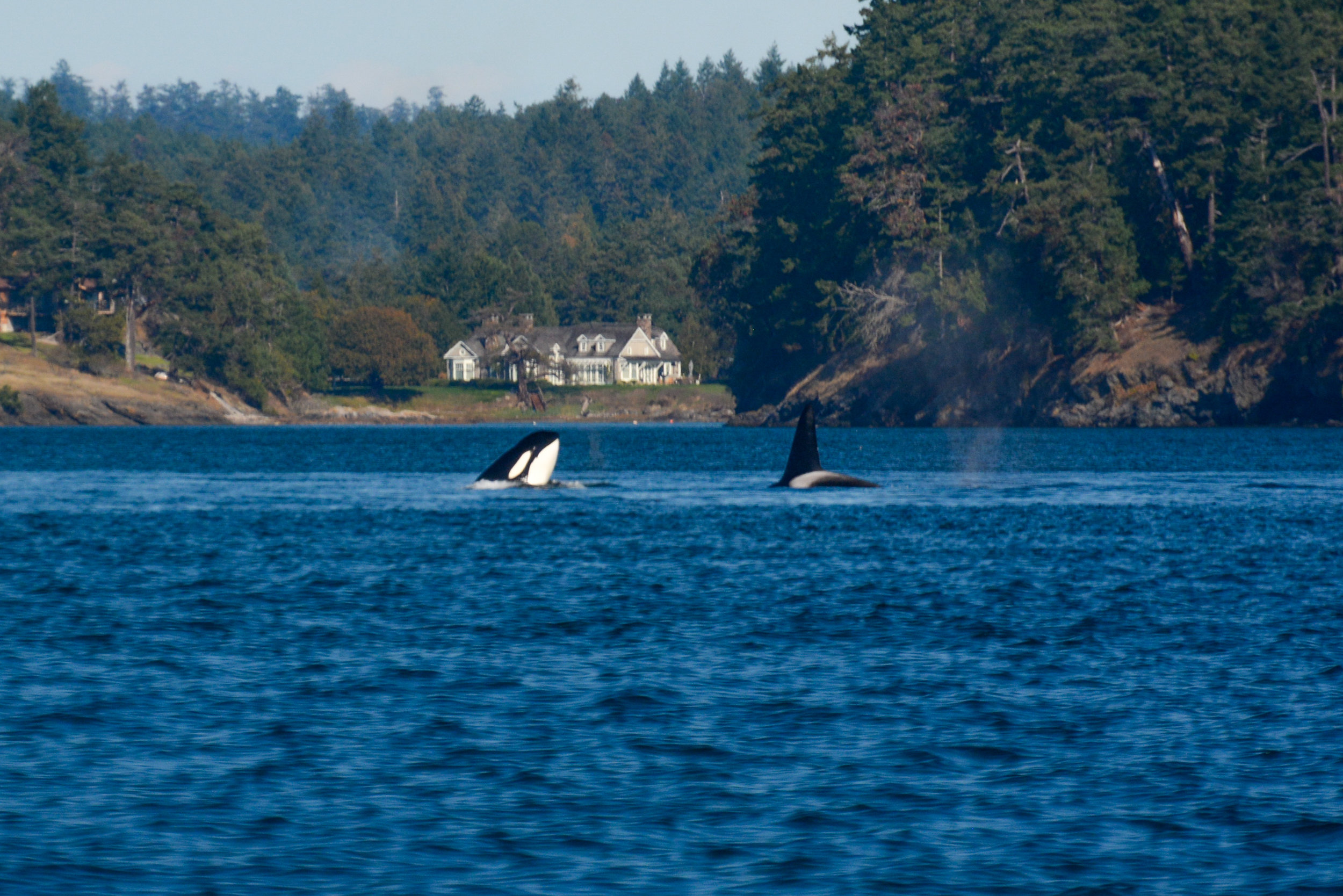 Orca spy hop by T65A2 as T49A1 (right) dives down. Photo by Alanna Vivani.