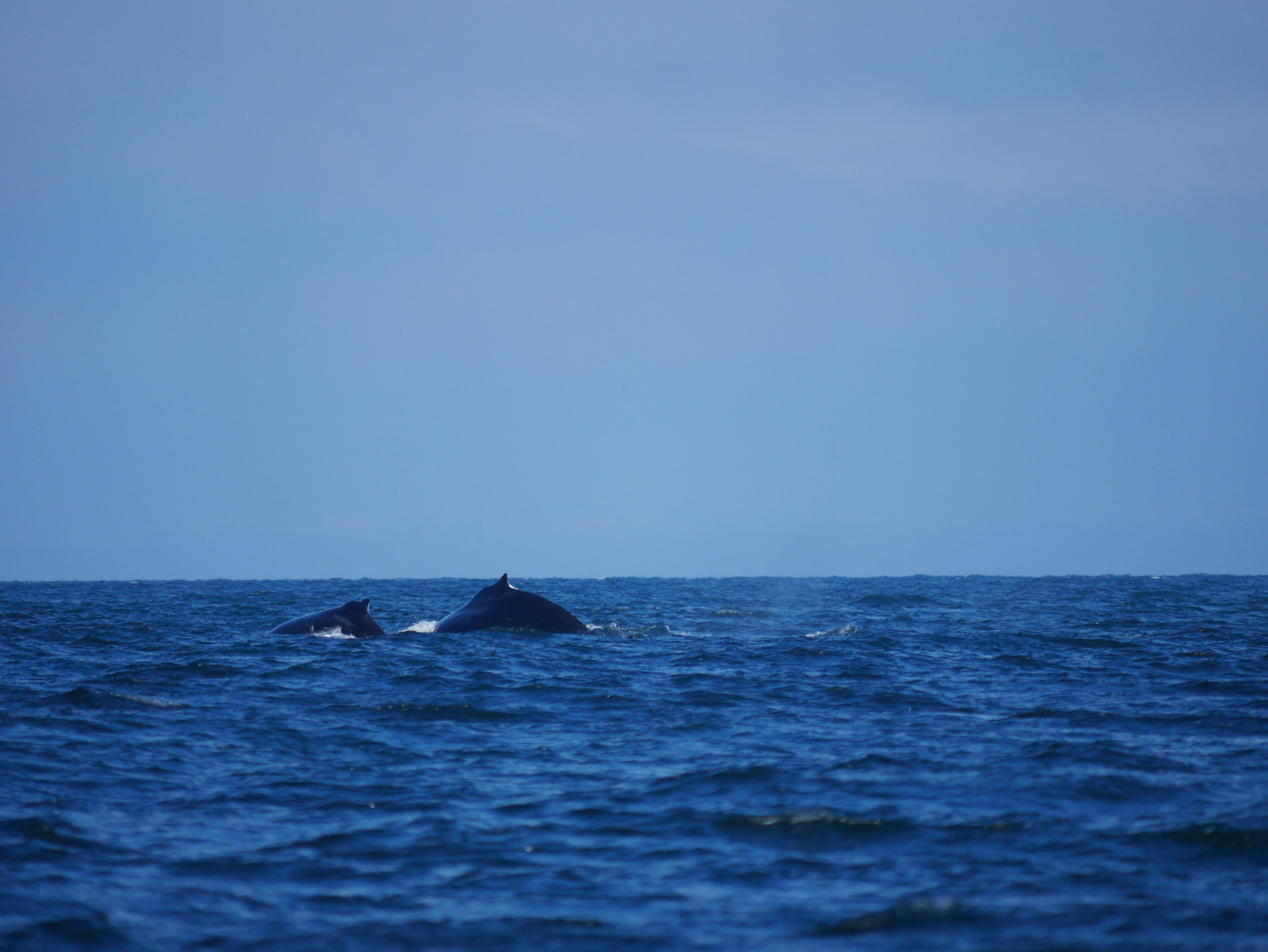 """Divot"" and her calf ""Olympus"" heading to the depths! Photo by Alanna Vivani"