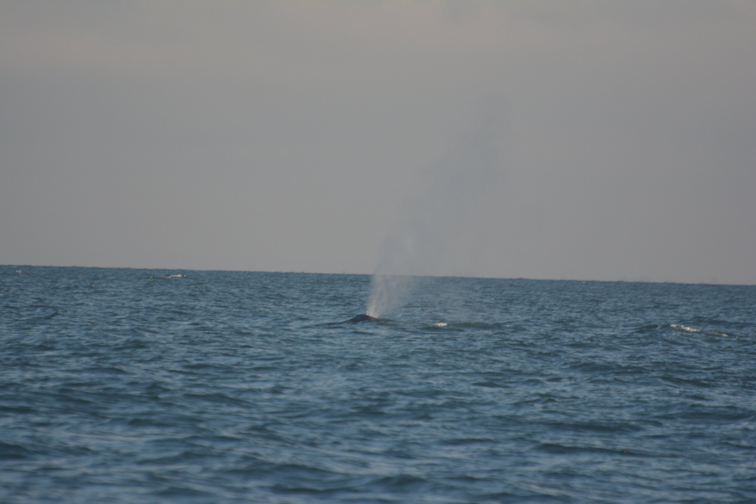Thar she blows! A humpback's blow can reach up to 15ft in the air, and this is often how we find them. Photo by Val Watson