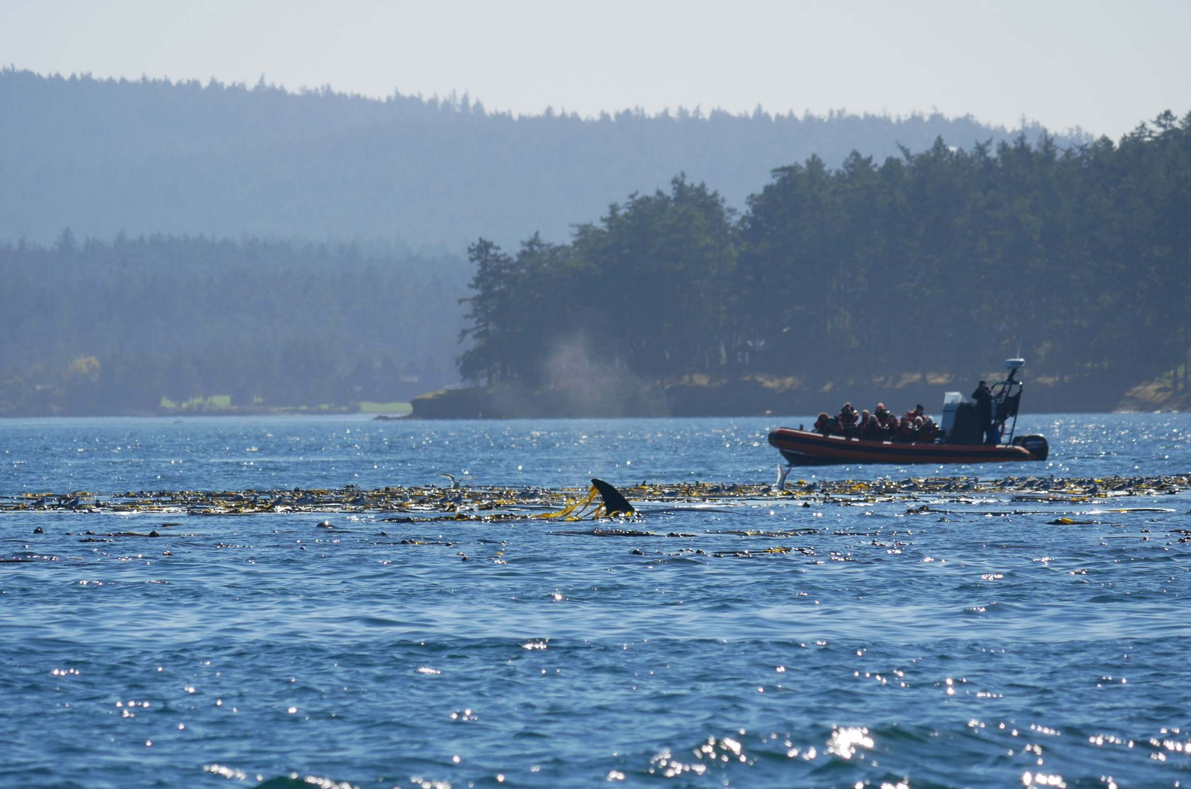 An orca surfacing in the kelp!
