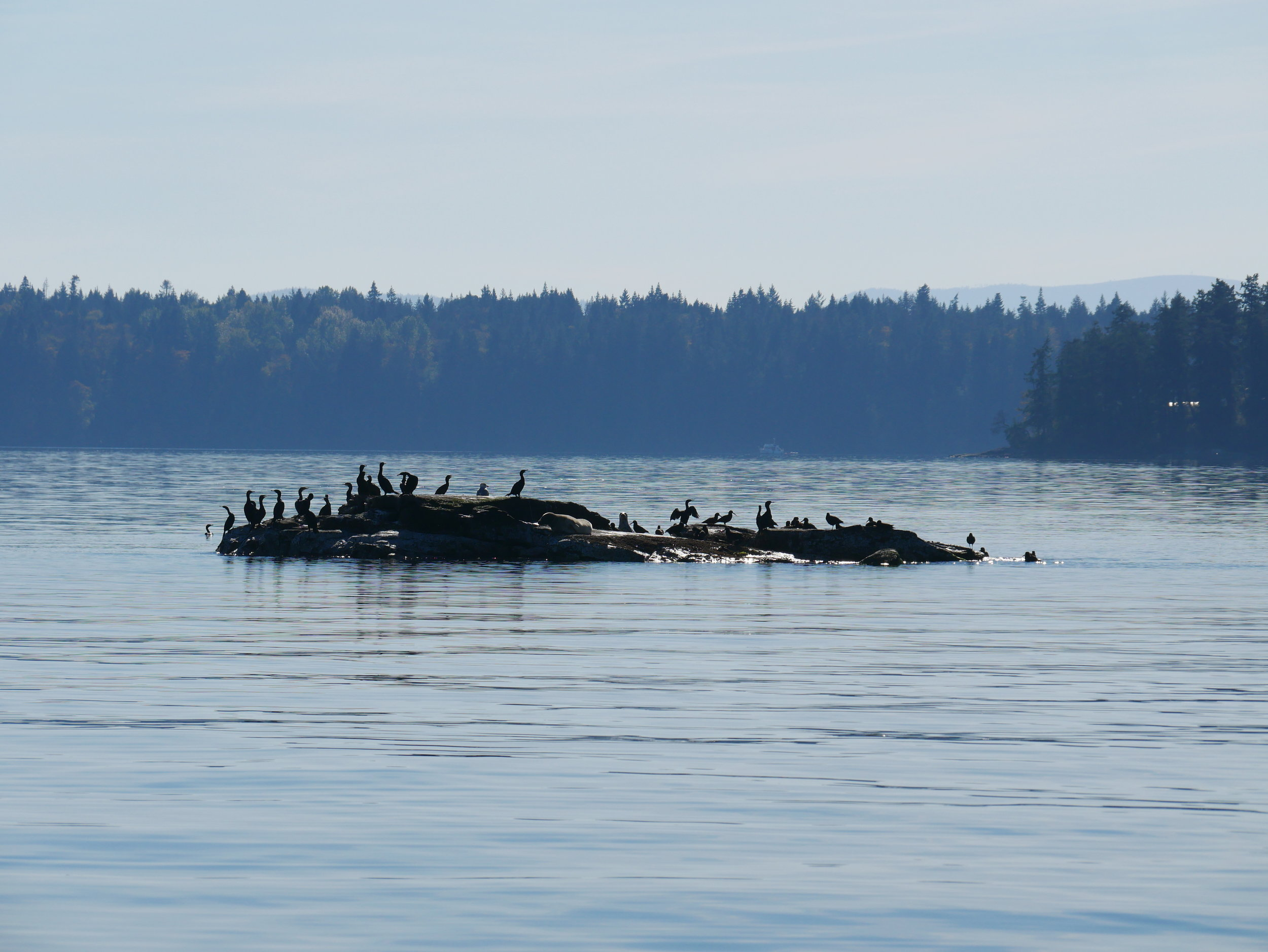 An island full of cormorants - check out the one drying its wings after a deep dive!