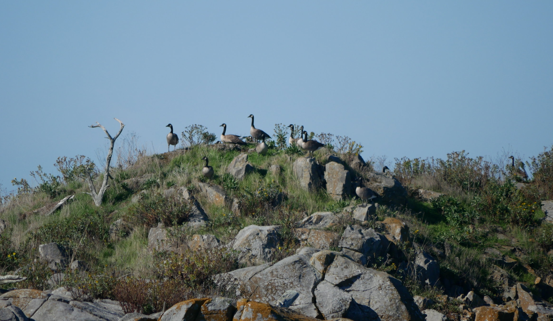 Canadian Geese on the lookout