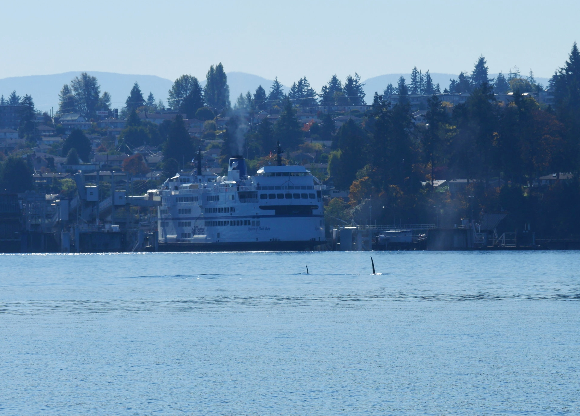 Tall fins right in front of the ferry!