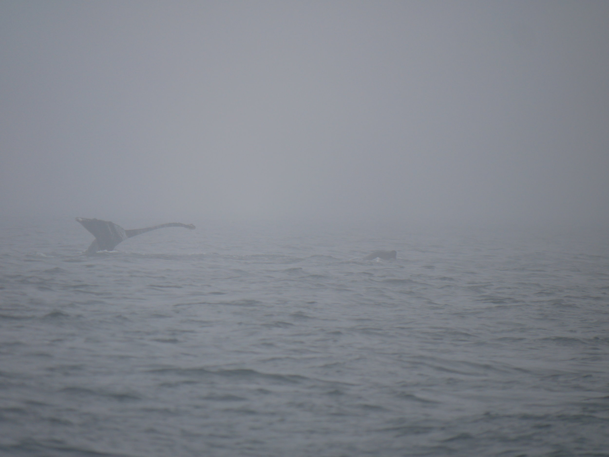 Fluke in the fog - and a hump!