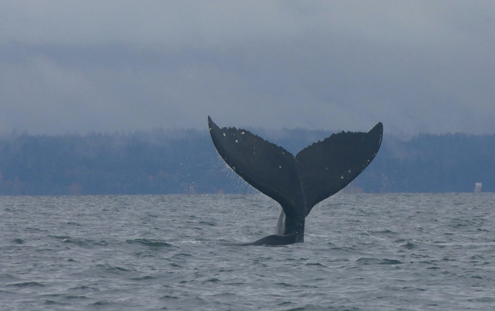 "Fluke of humpback whale ""zig-zag""… see the three zig-zagging dots on the top left?"