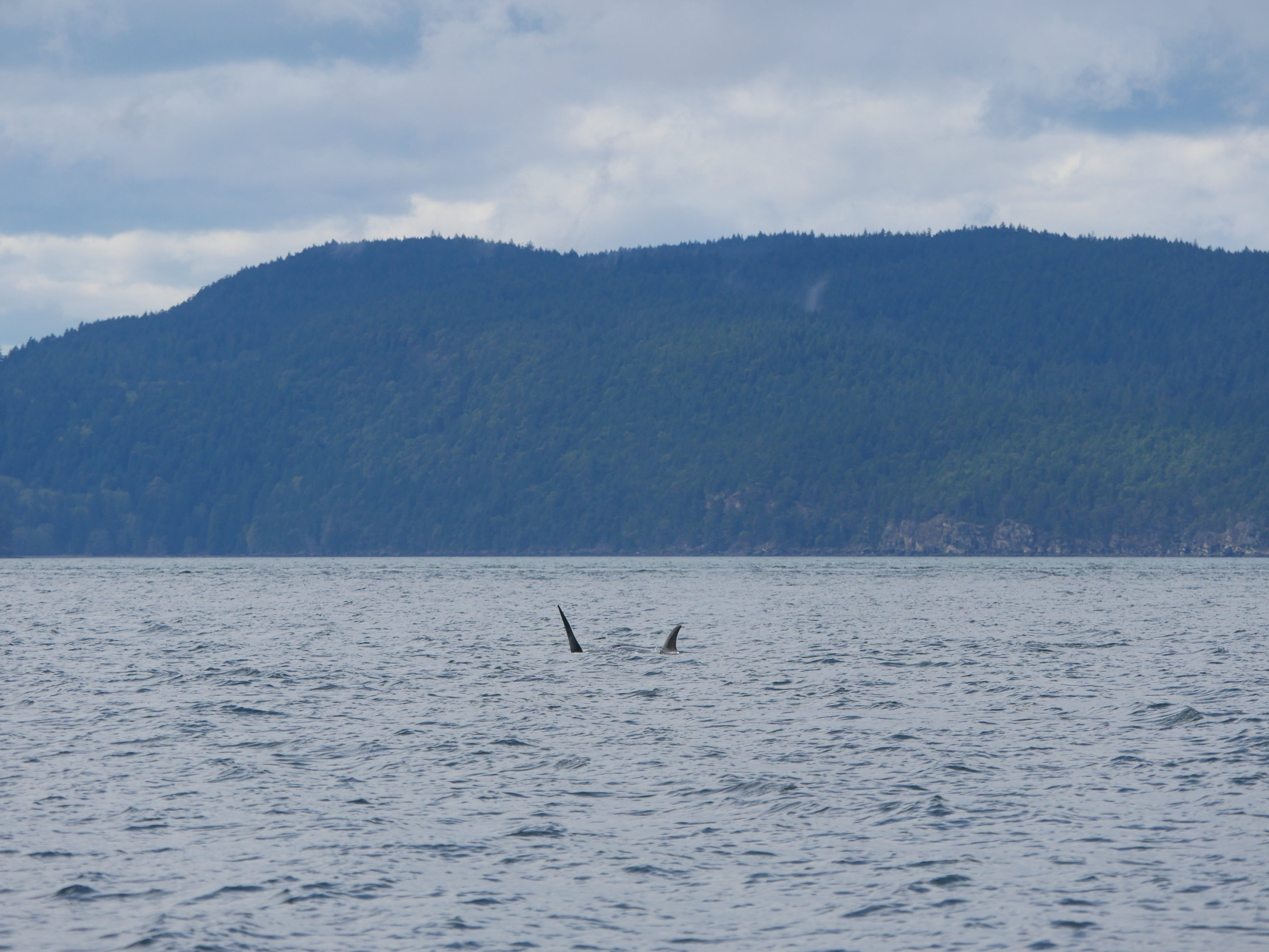 Typical view of what a hunt looks like! Most of the work is done under the surface and you can see the whales' fins zig-zagging around as they take turns catching their breath.
