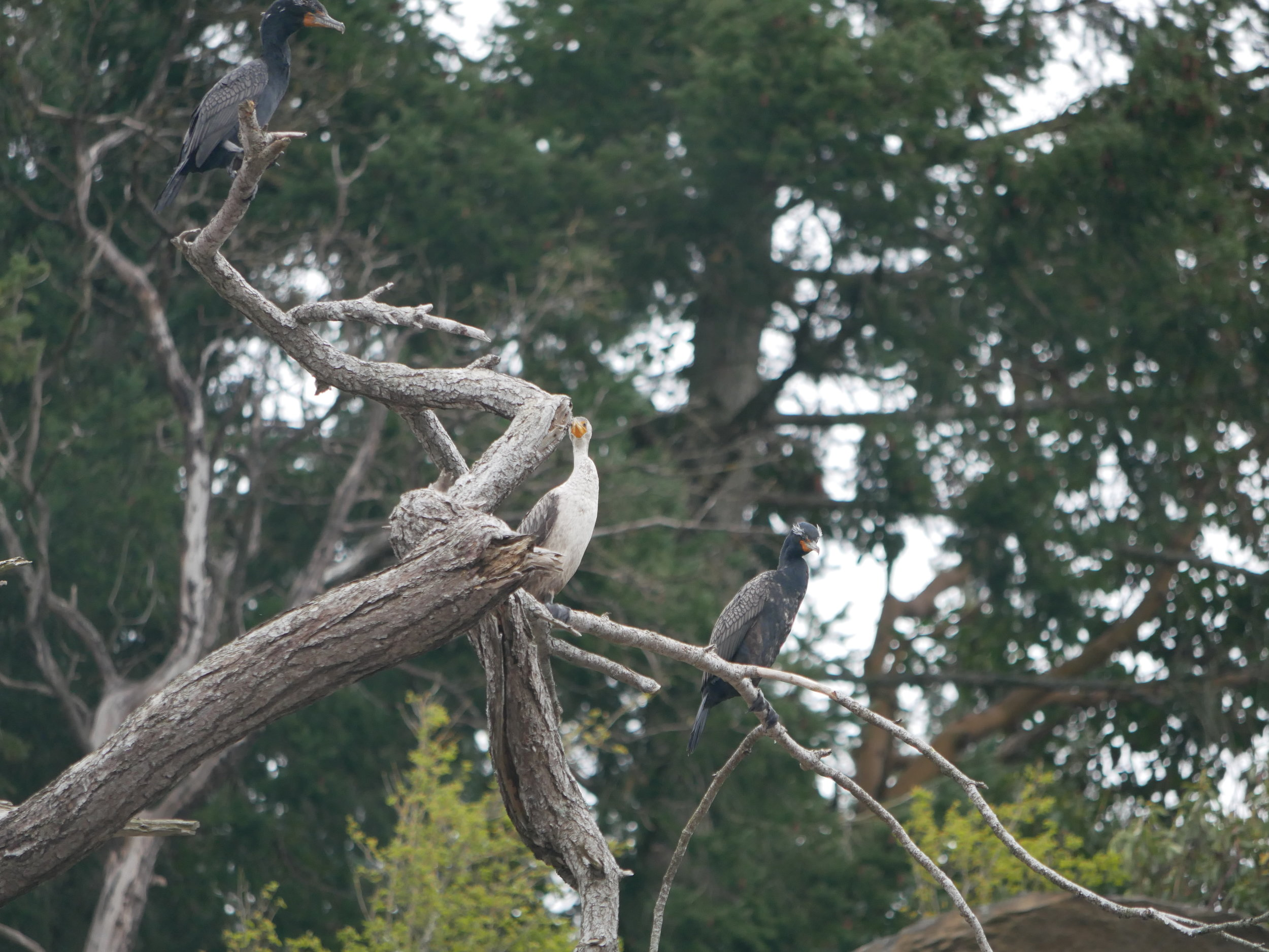 Cormorants in the trees at the Gabriola bluffs. Photo by Rodrigo Menezes