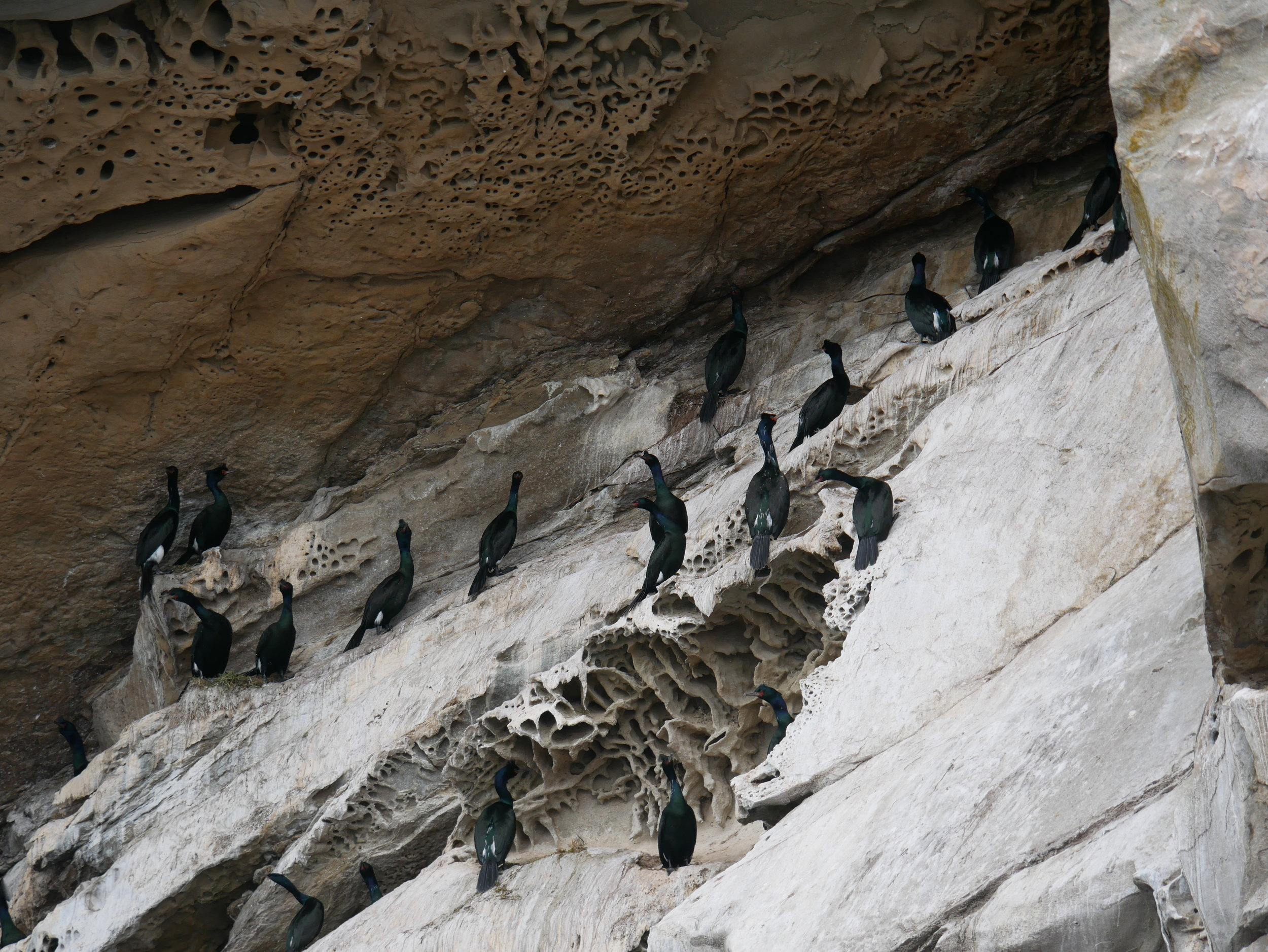 A nesting colony of cormorants at the Gabriola bluffs. These seabirds lay their eggs in the rock crevices! Photo by Rodrigo Menezes