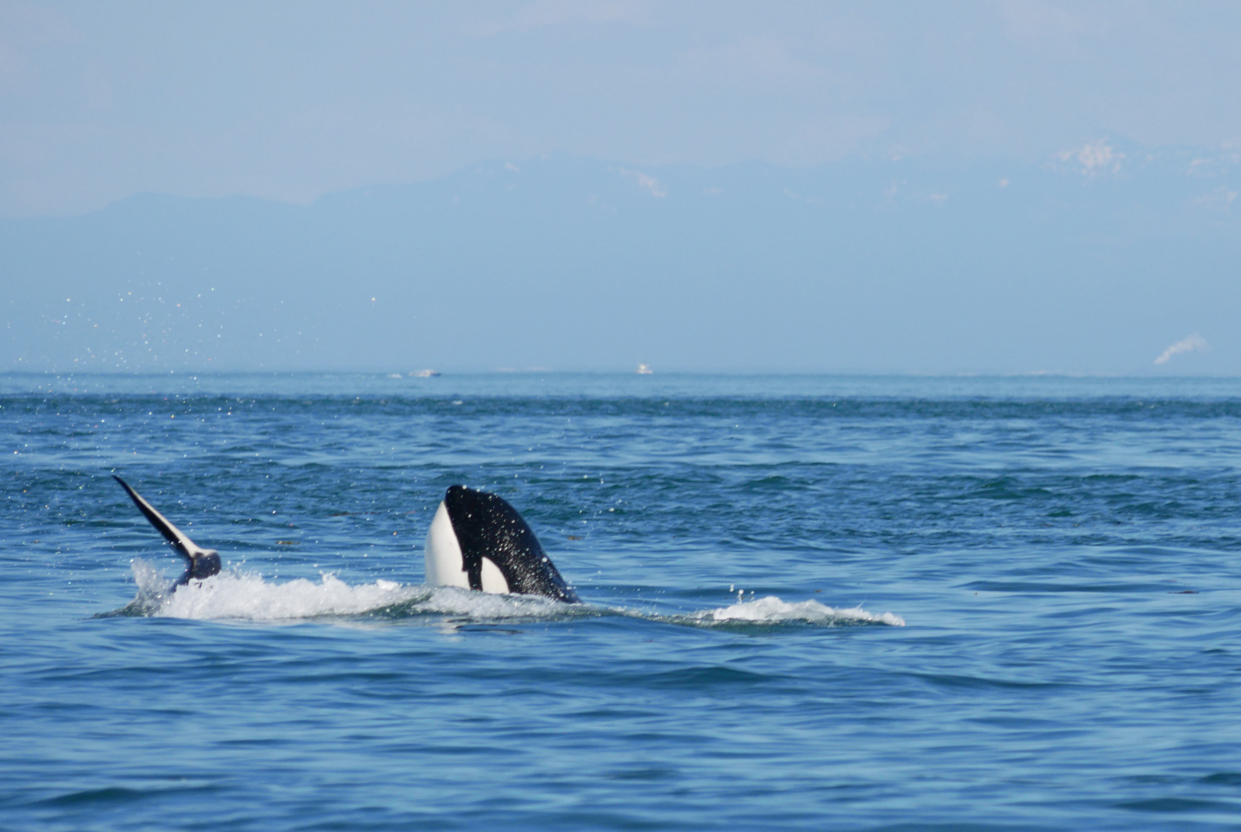Spyhopping allows an orca to see what's happening above the surface. Photo by Val Watson