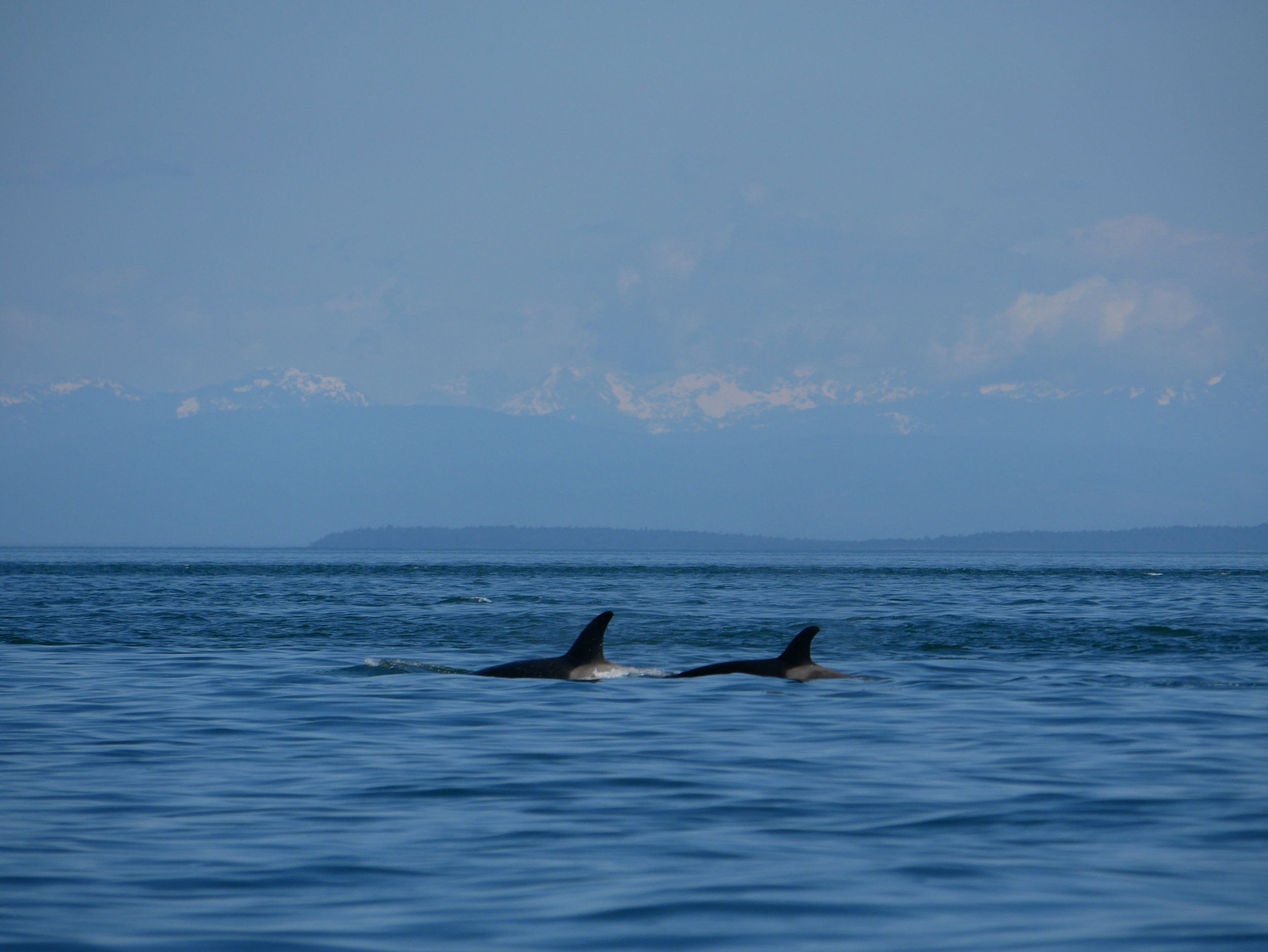 Surfacing together. Photo by Val Watson