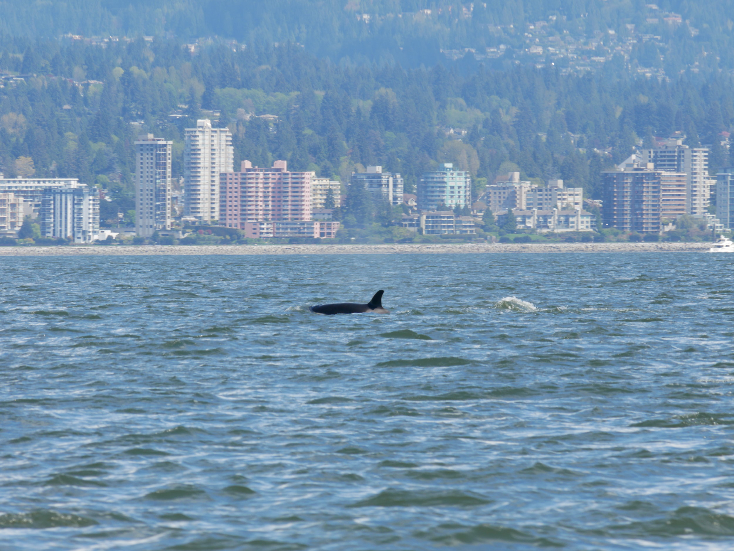 Orca spotted in front of the North Vancouver shoreline! Photo by Jilann Campbell